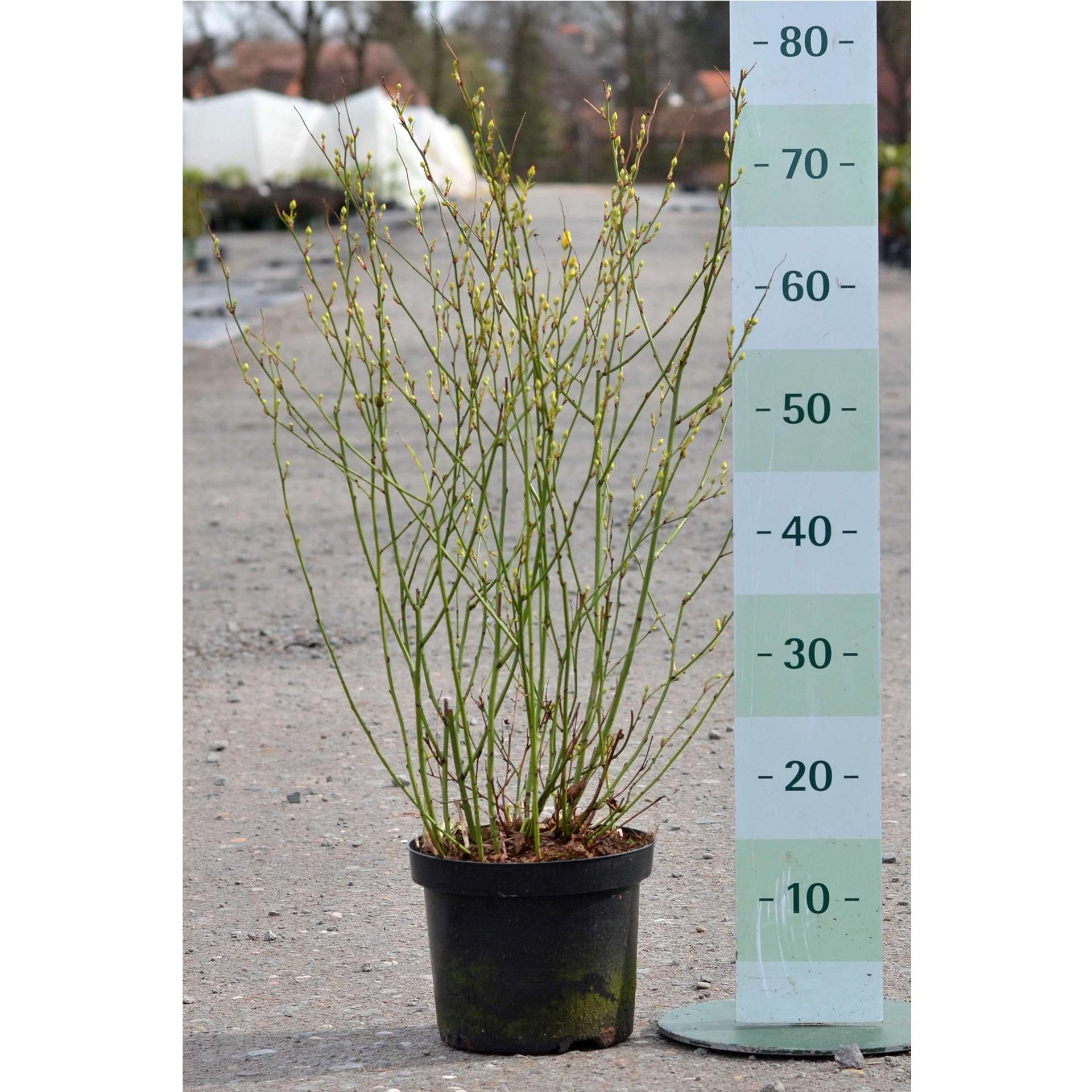 Ranunkelstrauch - Kerria japonica 'Golden Guinea', C4 50-60cm