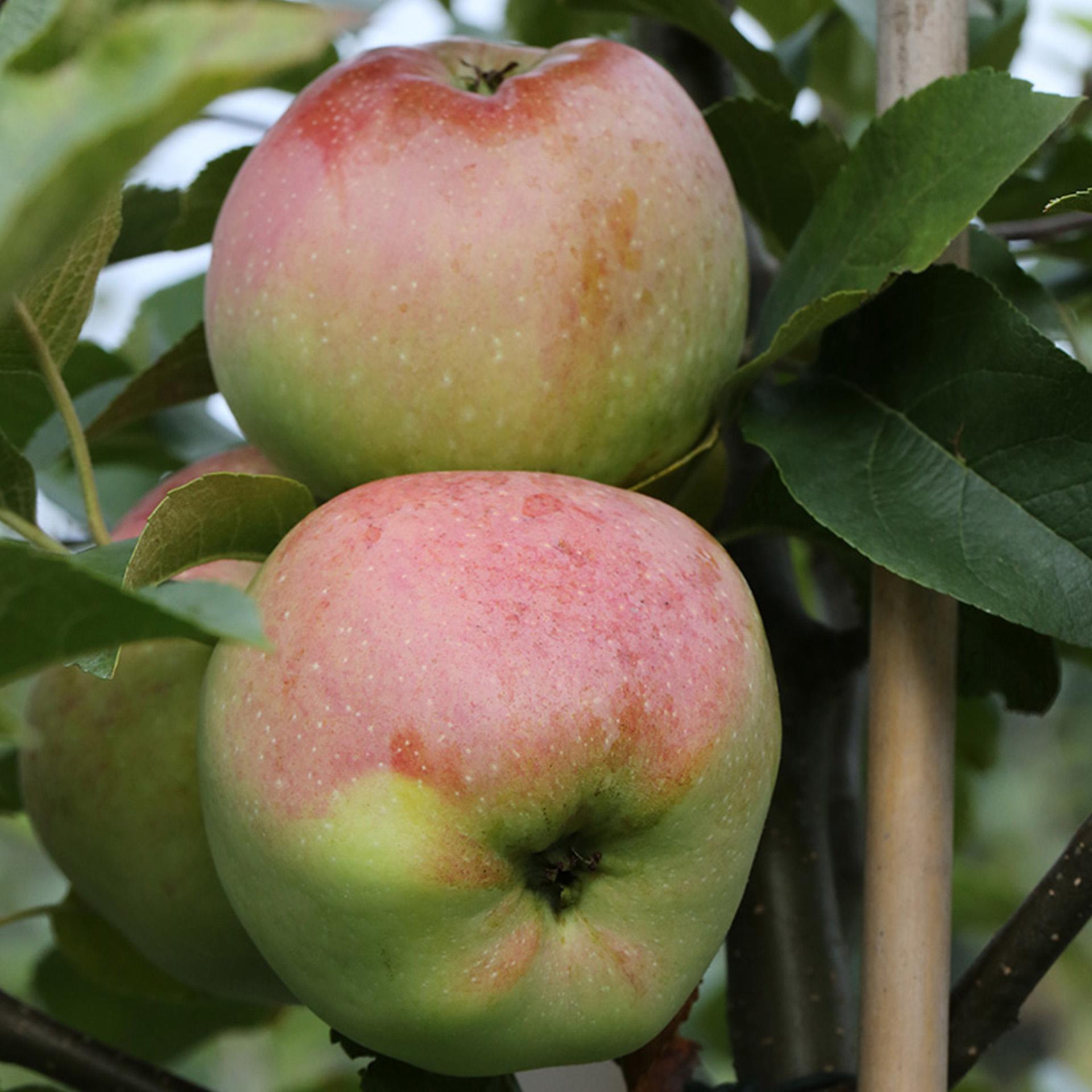 Apfel 'Florina' - Malus domestica 'Florina', C10