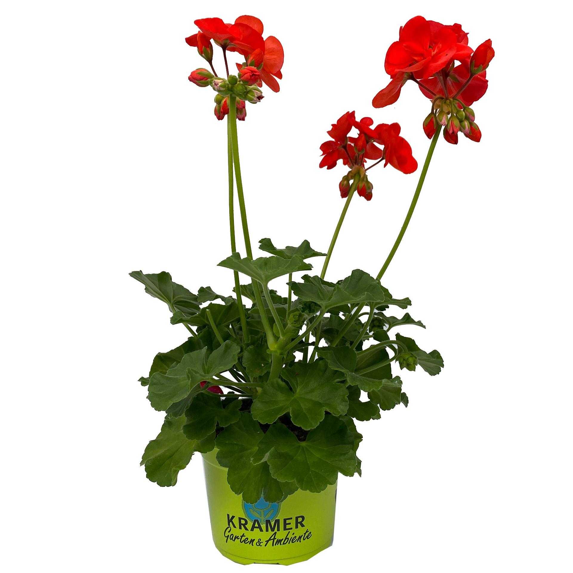 Geranie stehend - Pelargonium zonale 'Anthony' rot, 12cm Topf