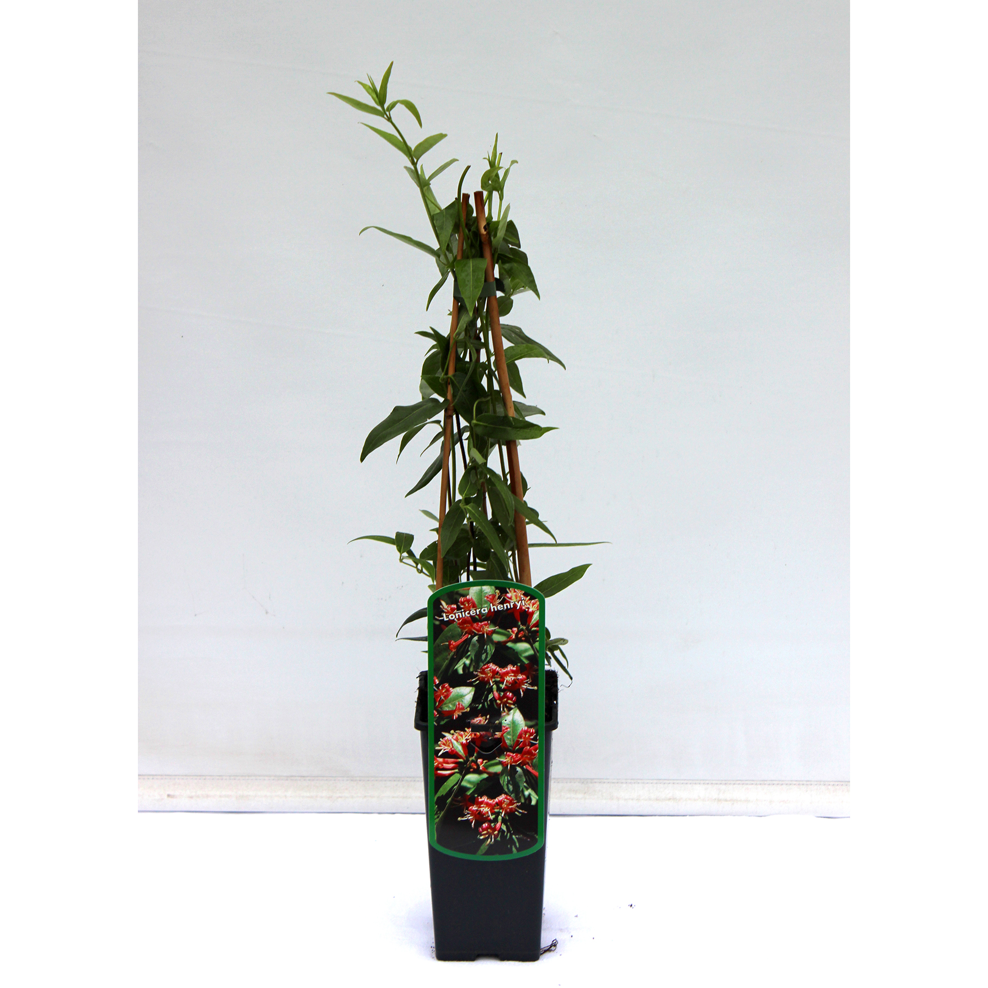 Immergrünes Geißblatt - Lonicera henryi, C2eck 40-60cm