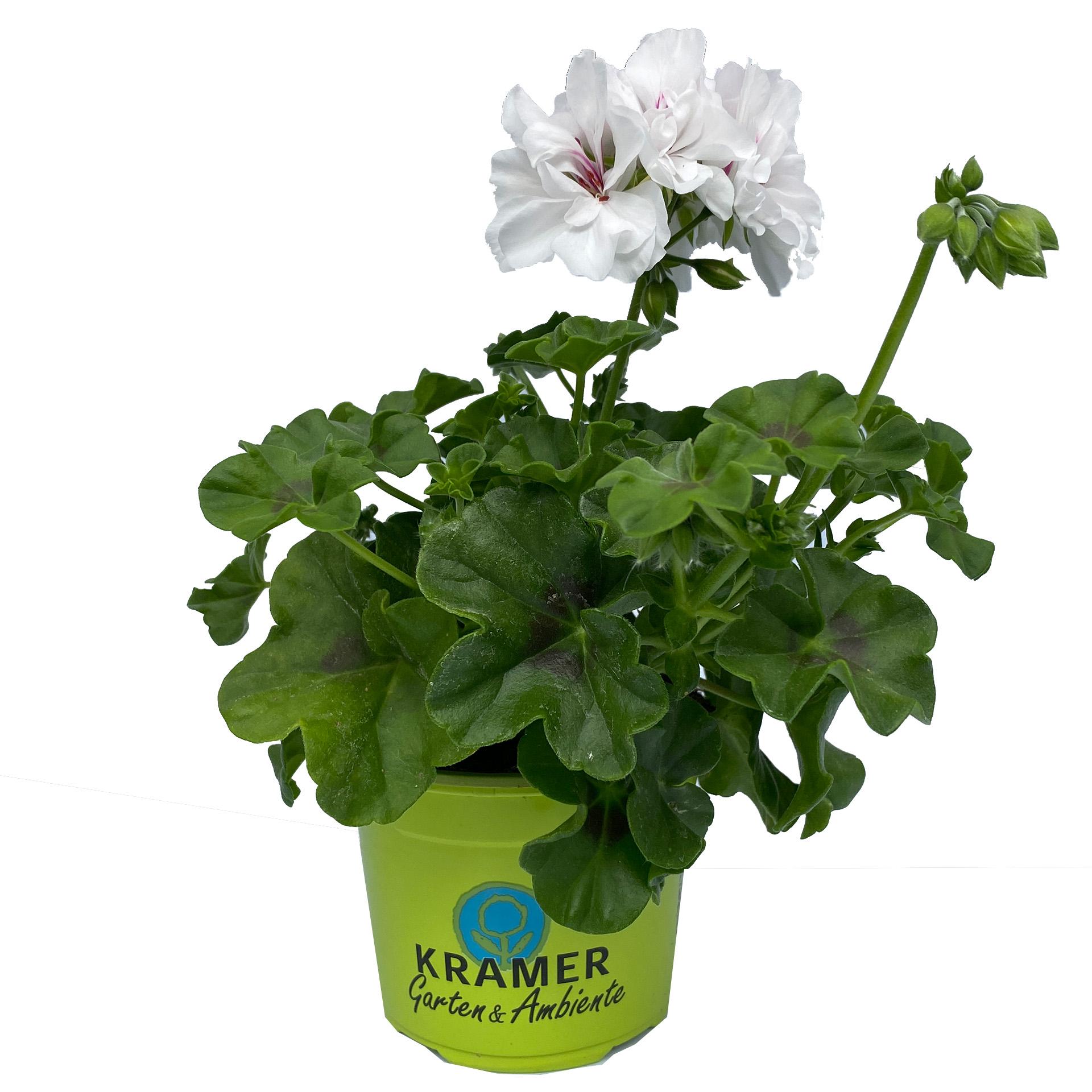 Geranie hängend - Pelargonium peltatum 'Sunflair Eva' weiß, 12cm Topf