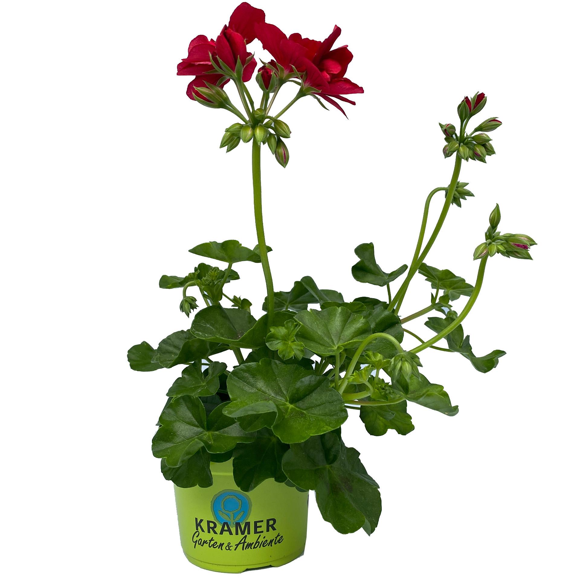 Geranie hängend - Pelargonium peltatum 'Sunflair Ruben' dunkelrot, 12cm Topf