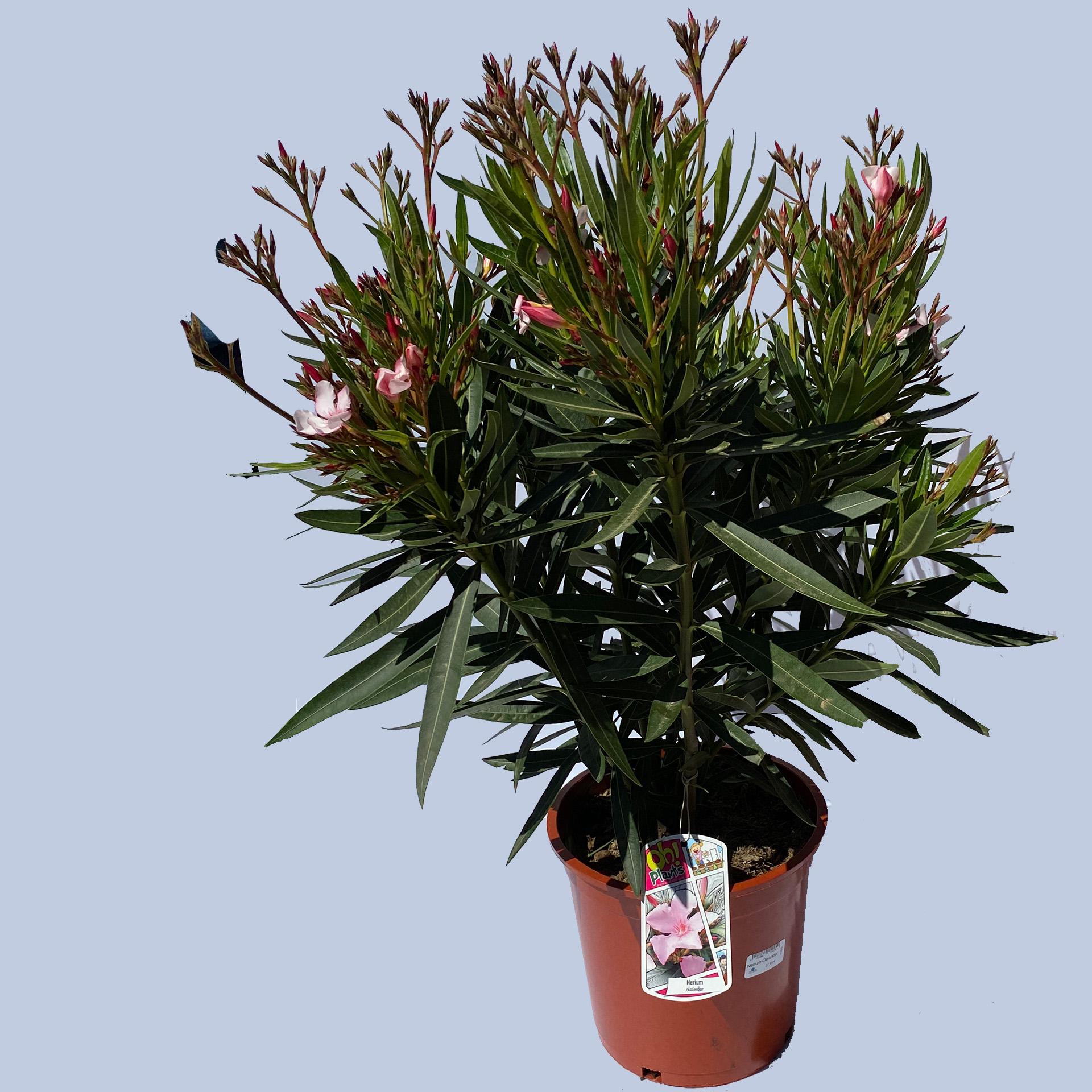 Oleander Busch