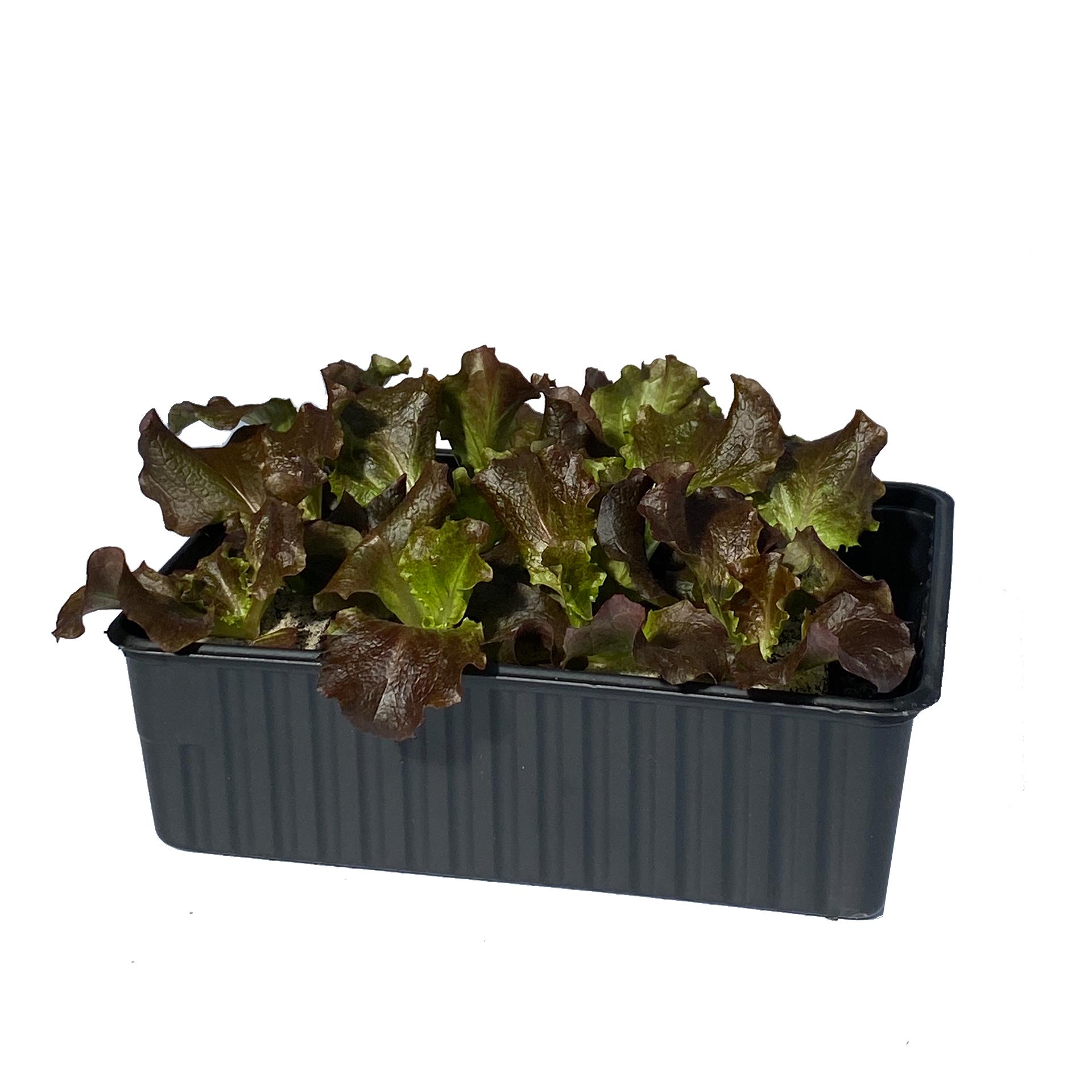 Bataviasalat - Salatpflanzen Schale 12er
