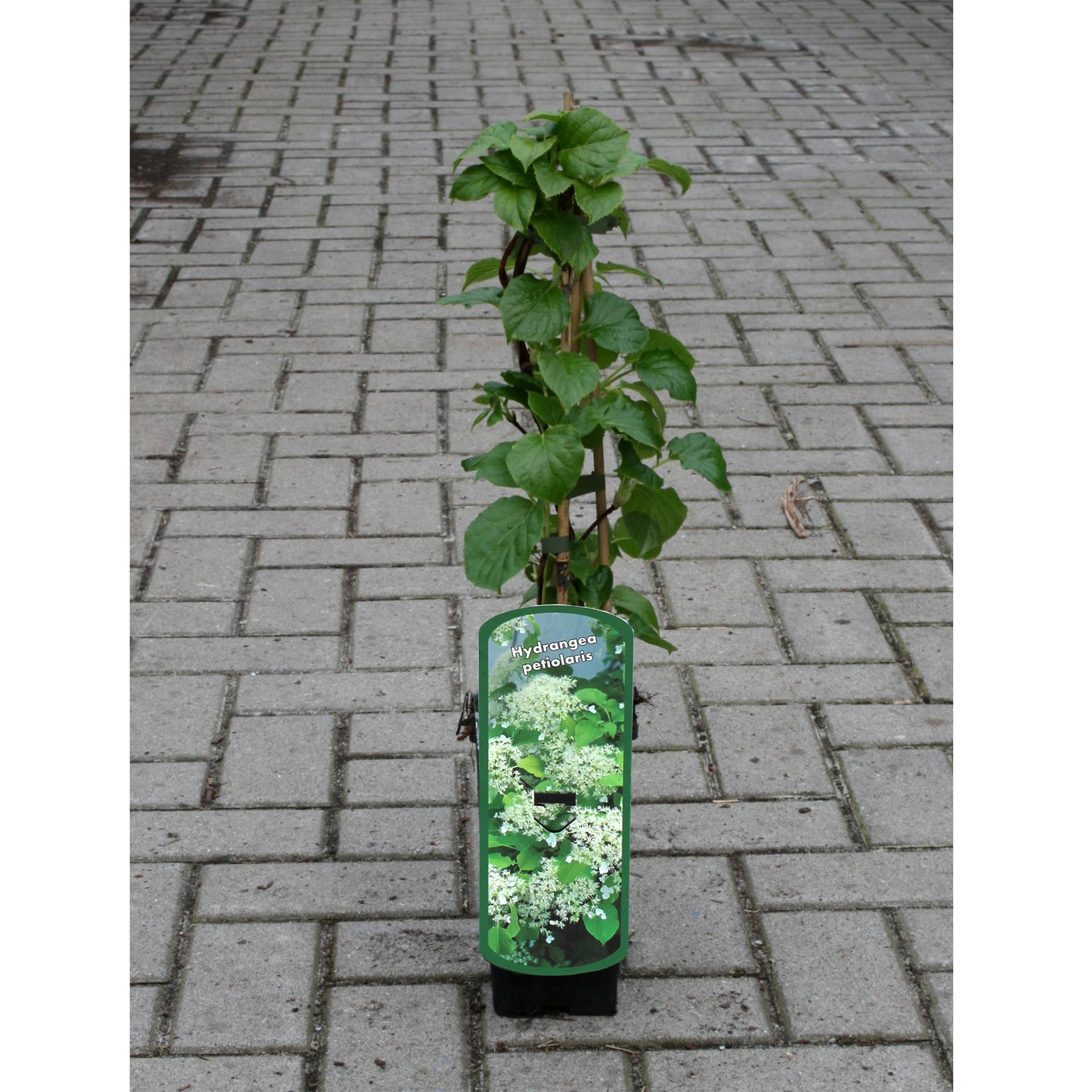 Kletterhortensie - Hydrangea petiolares, C2eck 40-60cm