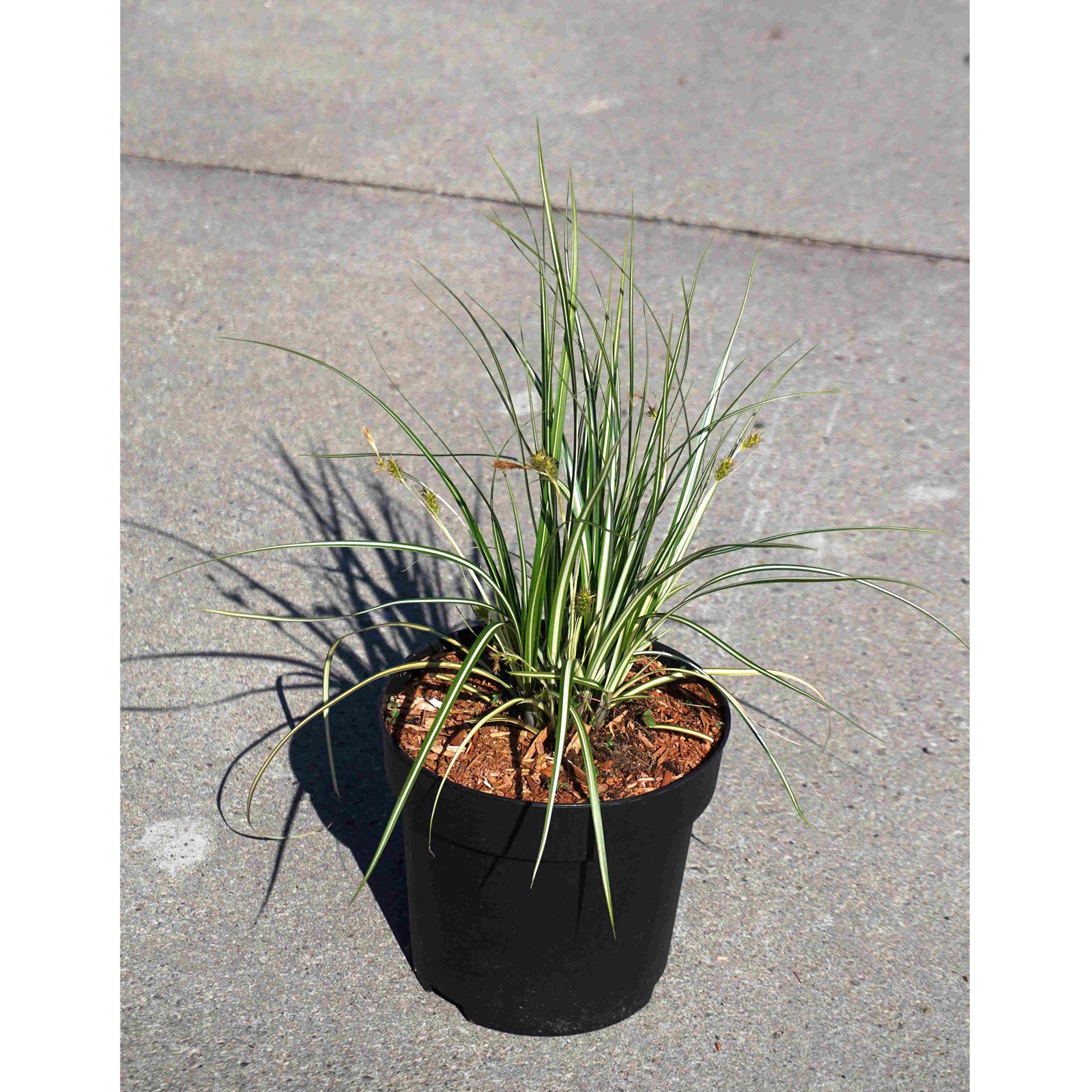 Segge - Carex hachijoensis 'Evergold', C2,8