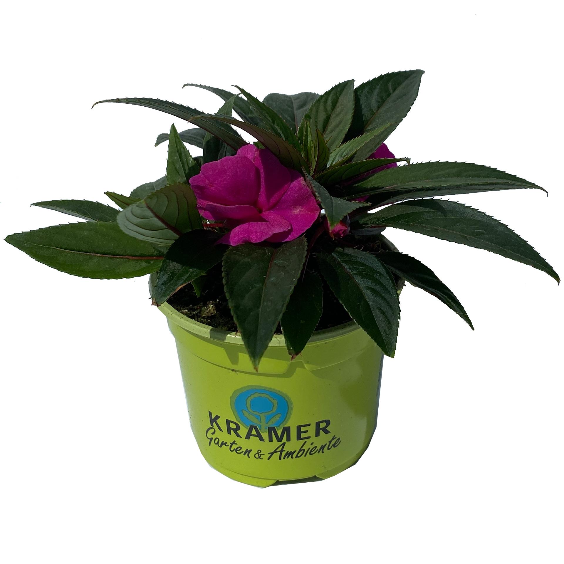 Edellieschen mini - Impatiens Neuguinea-Hybride 'Bonita Sarchi' lila, 11cm Topf