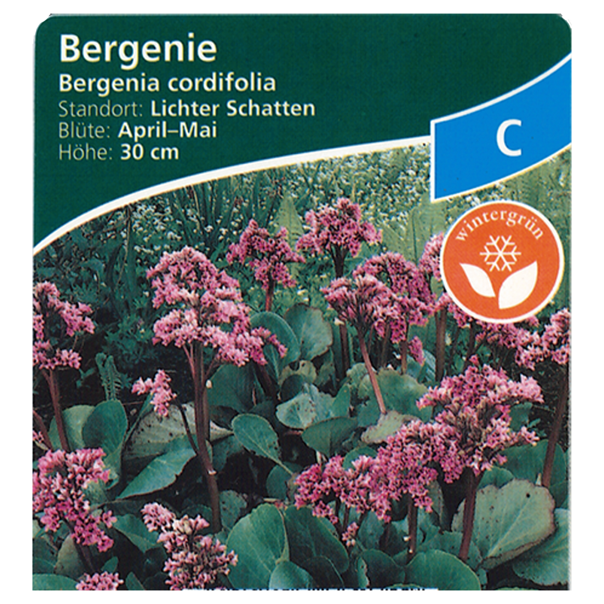Bergenie - Bergenia cordifolia, 9cm Topf