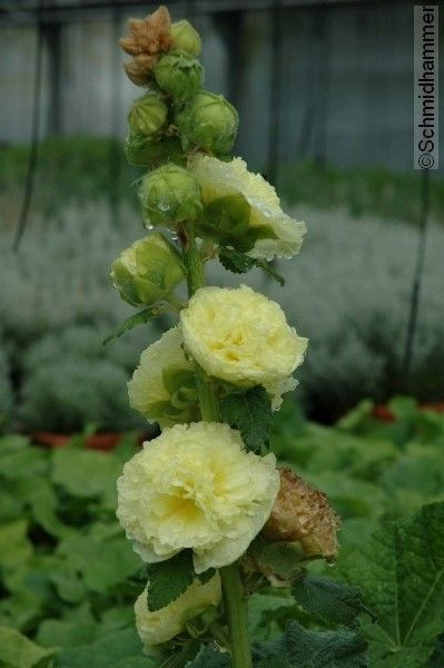 Alcea rosea 'Pleniflora Chaters' gelb