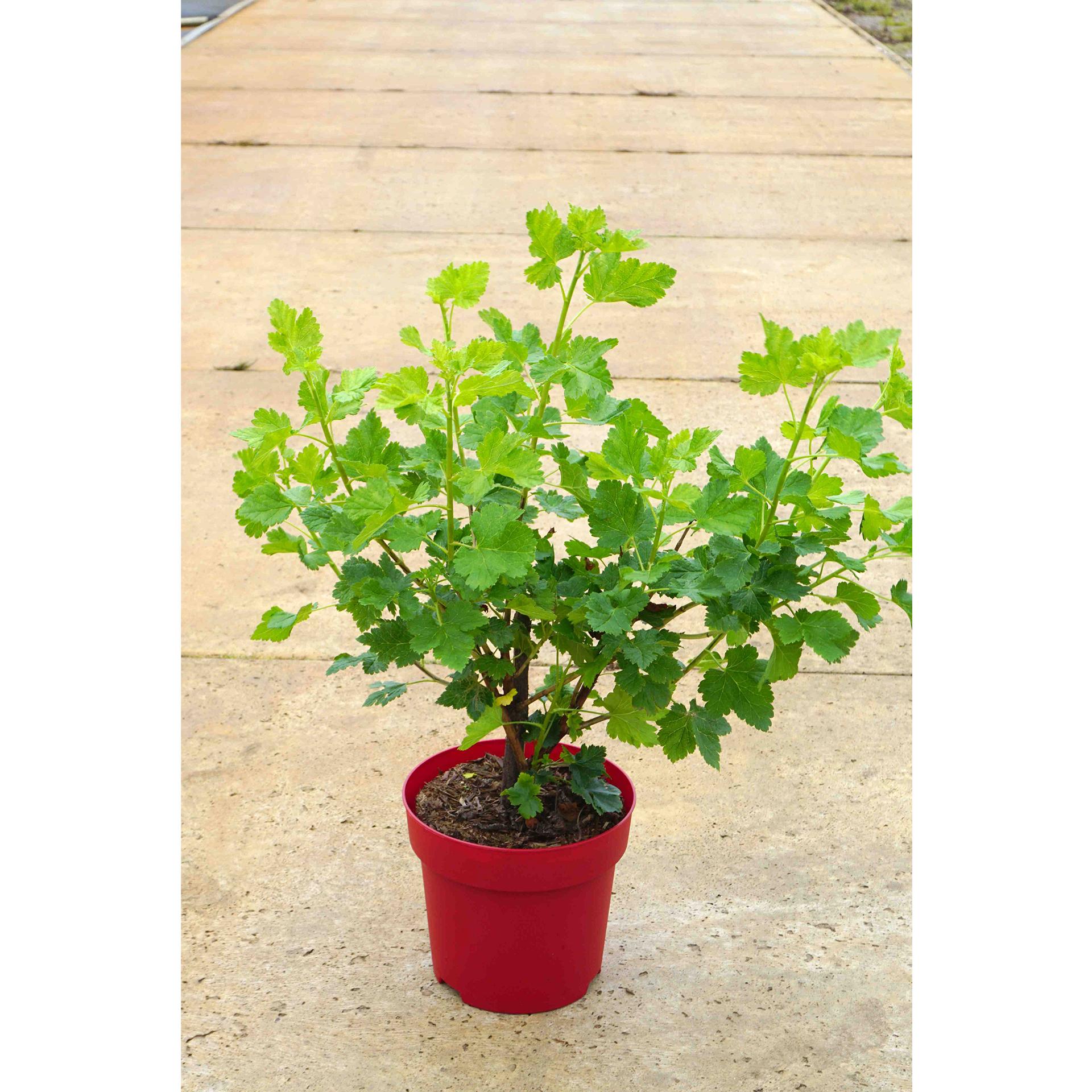 Jostabeere - Ribes x nidigrolaria, 30-40cm