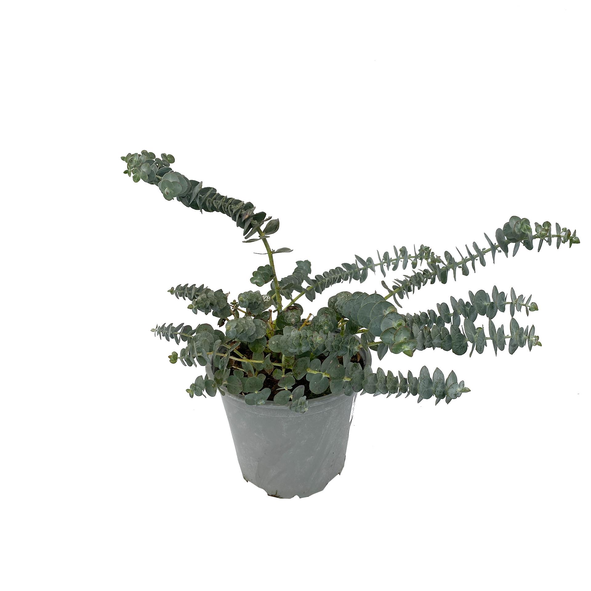 Eucalyptus Gunni, 14cm Topf