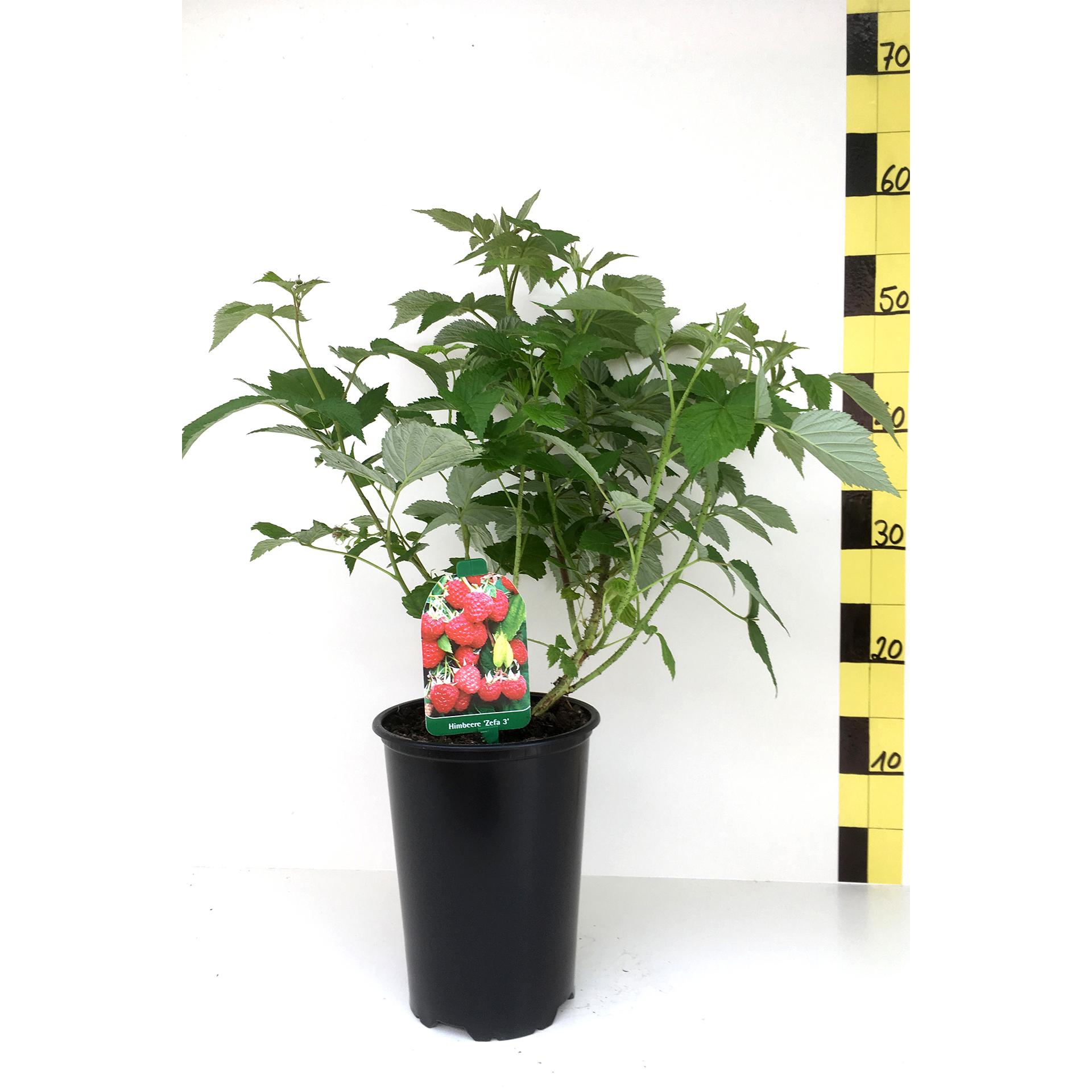 Himbeere - Rubus idaeus 'Zefa 3', C3 30-40cm