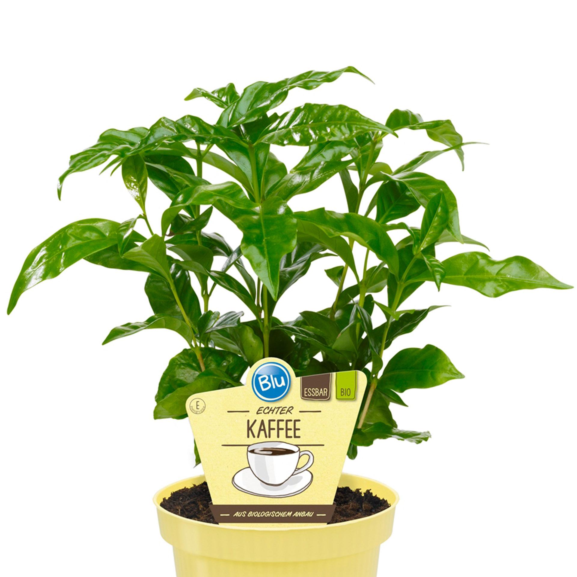 Echter Kaffee-Coffea arabica PG-E