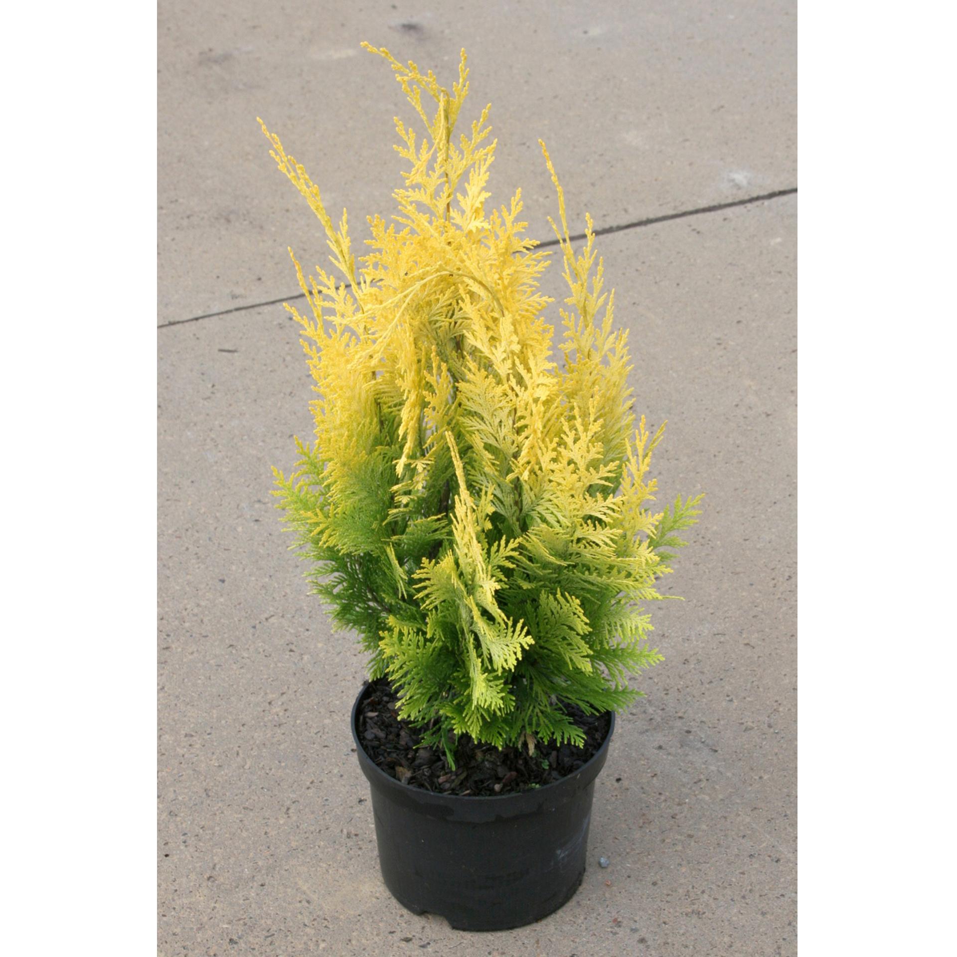 Gelbe Scheinzypresse - Chamaecyparis laws. 'Ivonne', 40-50cm