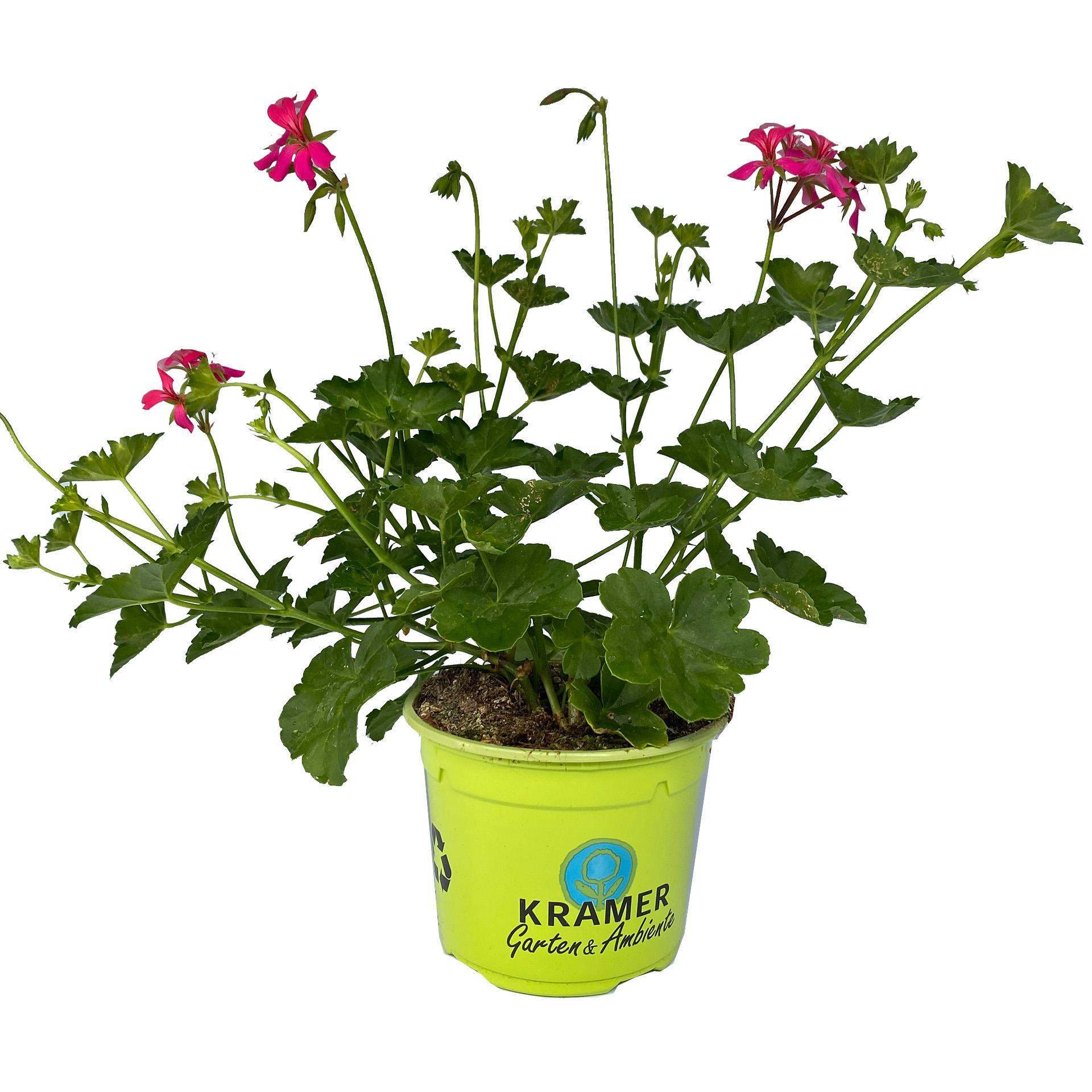 Geranie hängend - Pelargonium peltatum 'Balcon Noa' pink, 12cm Topf