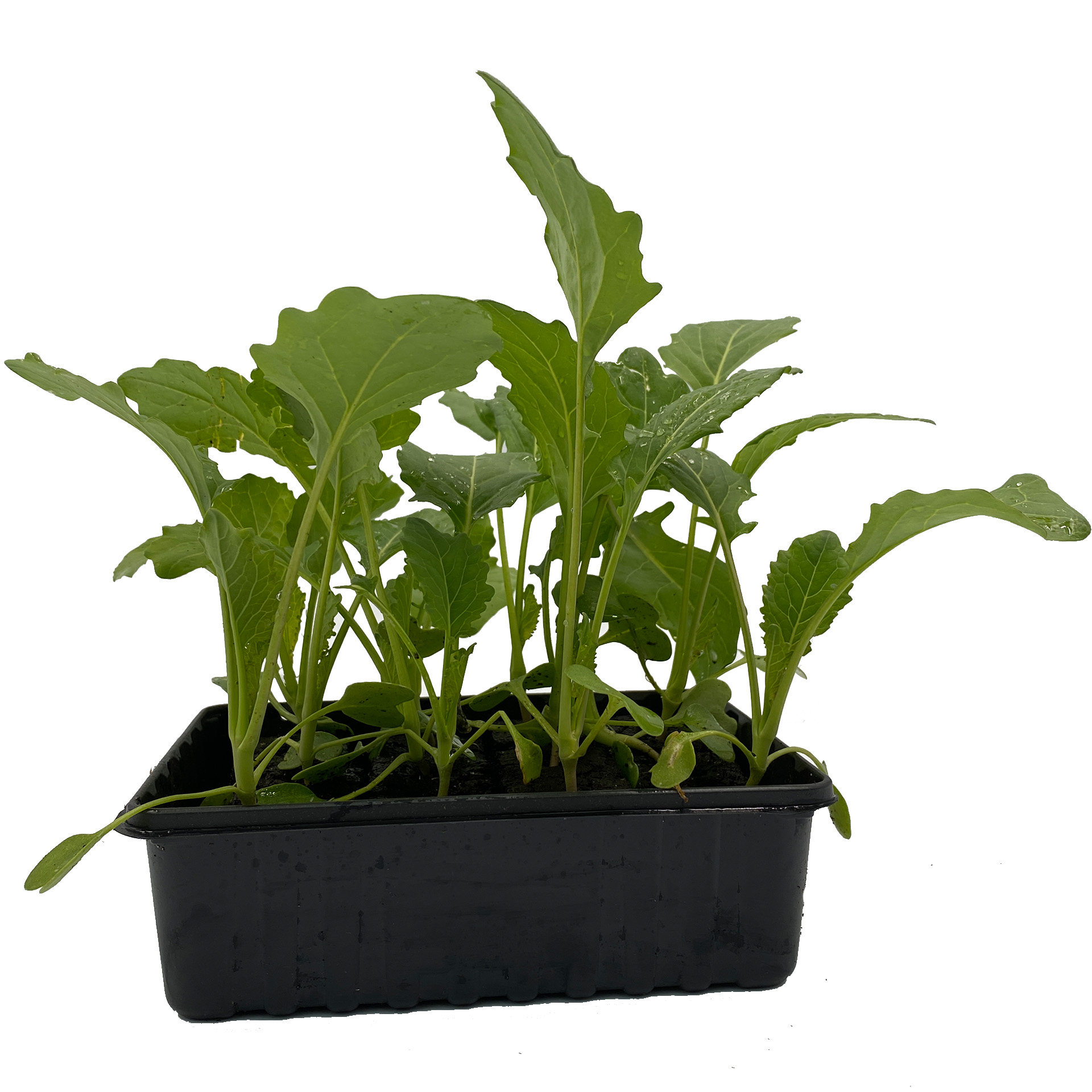 Kohlrabi Superschmelz - Gemüsepflanzen Schale 12er