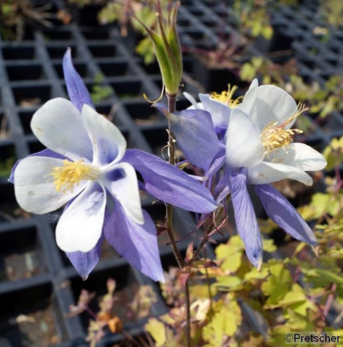 "Akelei - Aquilegia caerulea ""Blue Star"" blau, 9cm Topf"