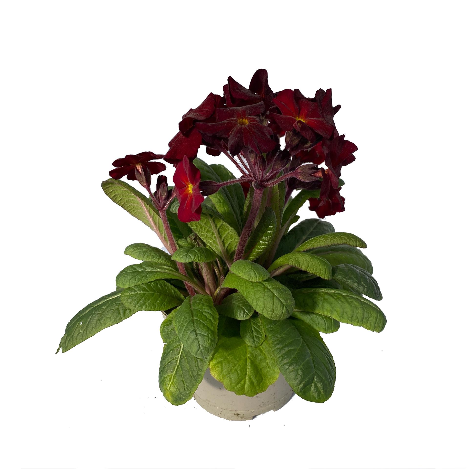 Hohe Schlüsselblume - Primula elatior, rot, 12cm Topf