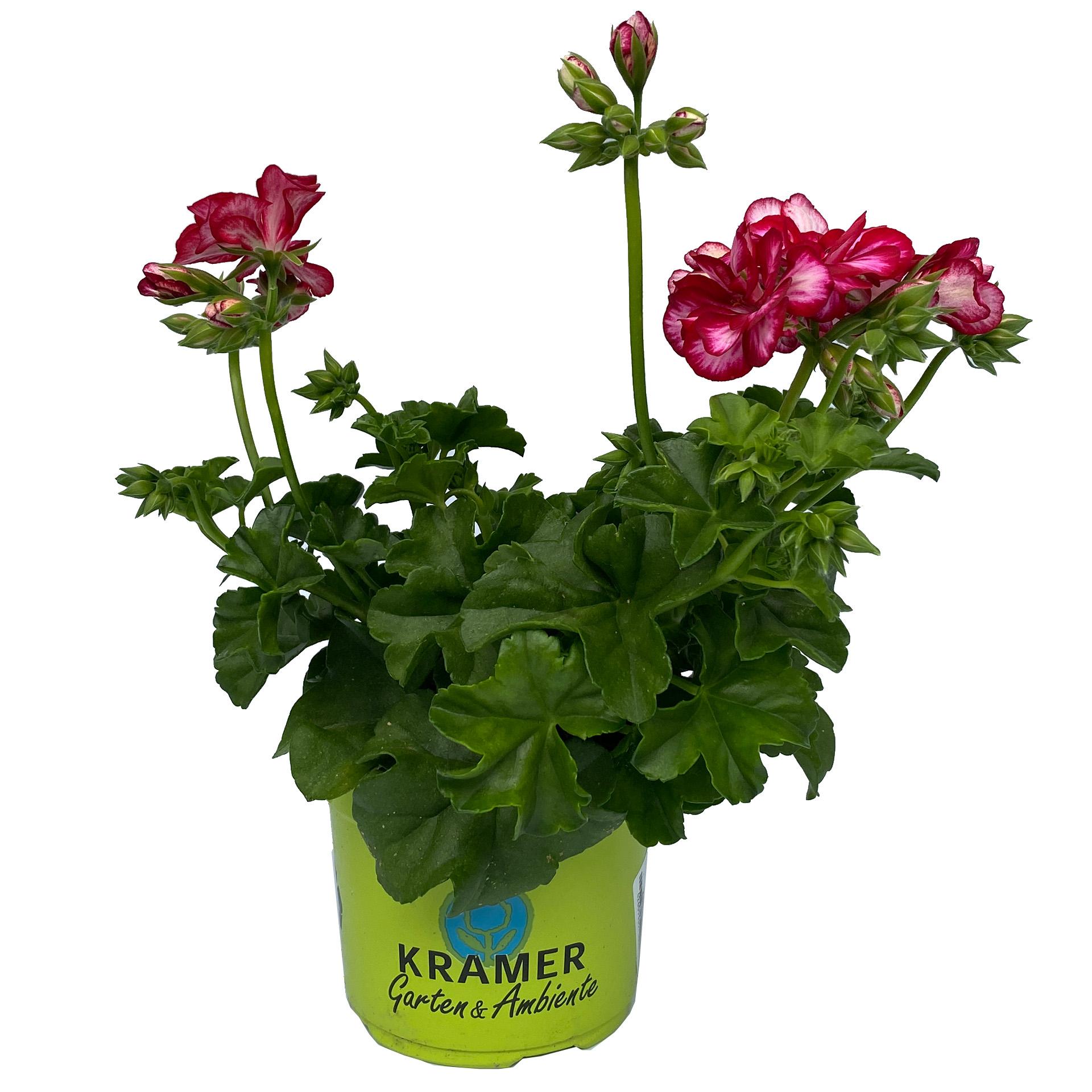 Geranie hängend - Pelargonium peltatum 'Medio Lollipop Mariska' samtrot, 12cm Topf