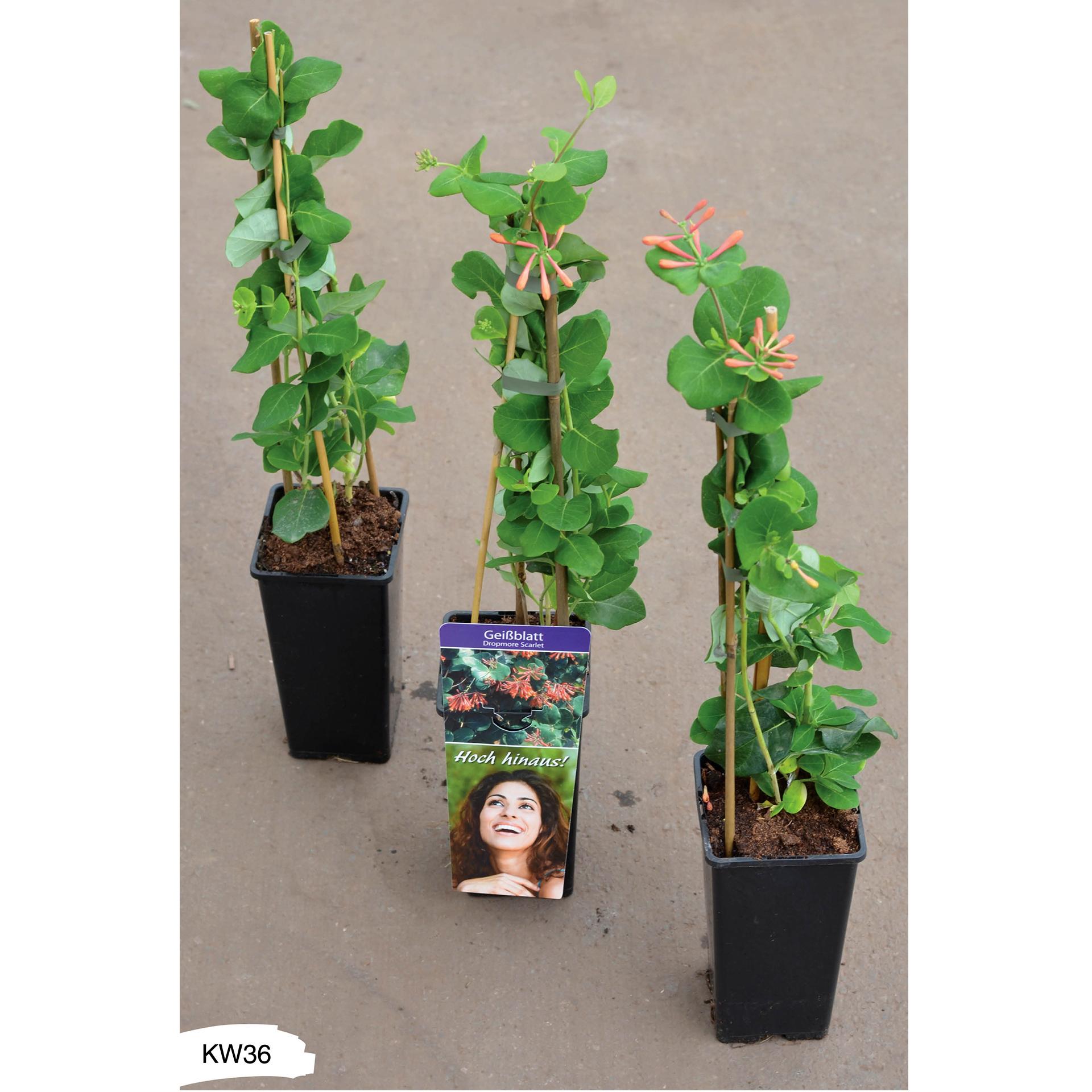 Geißblatt - Lonicera brownii 'Dropmore Scarlet', C2eck 40-60cm