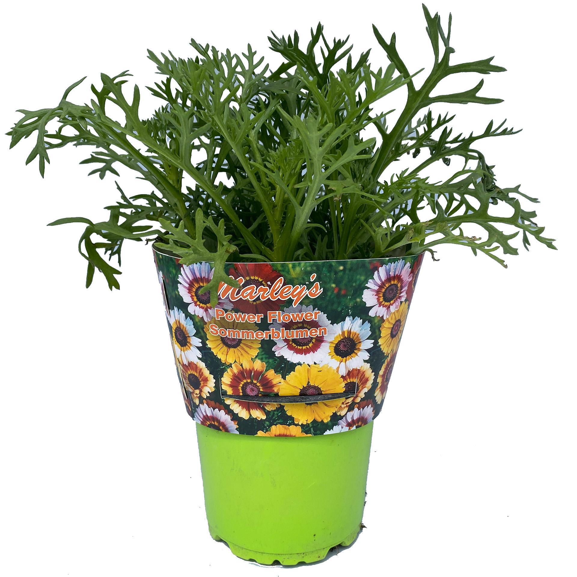 Herbst-Chrysantheme - Chrysanthemum indicum 'Marley's Farbmix', 12cm Topf