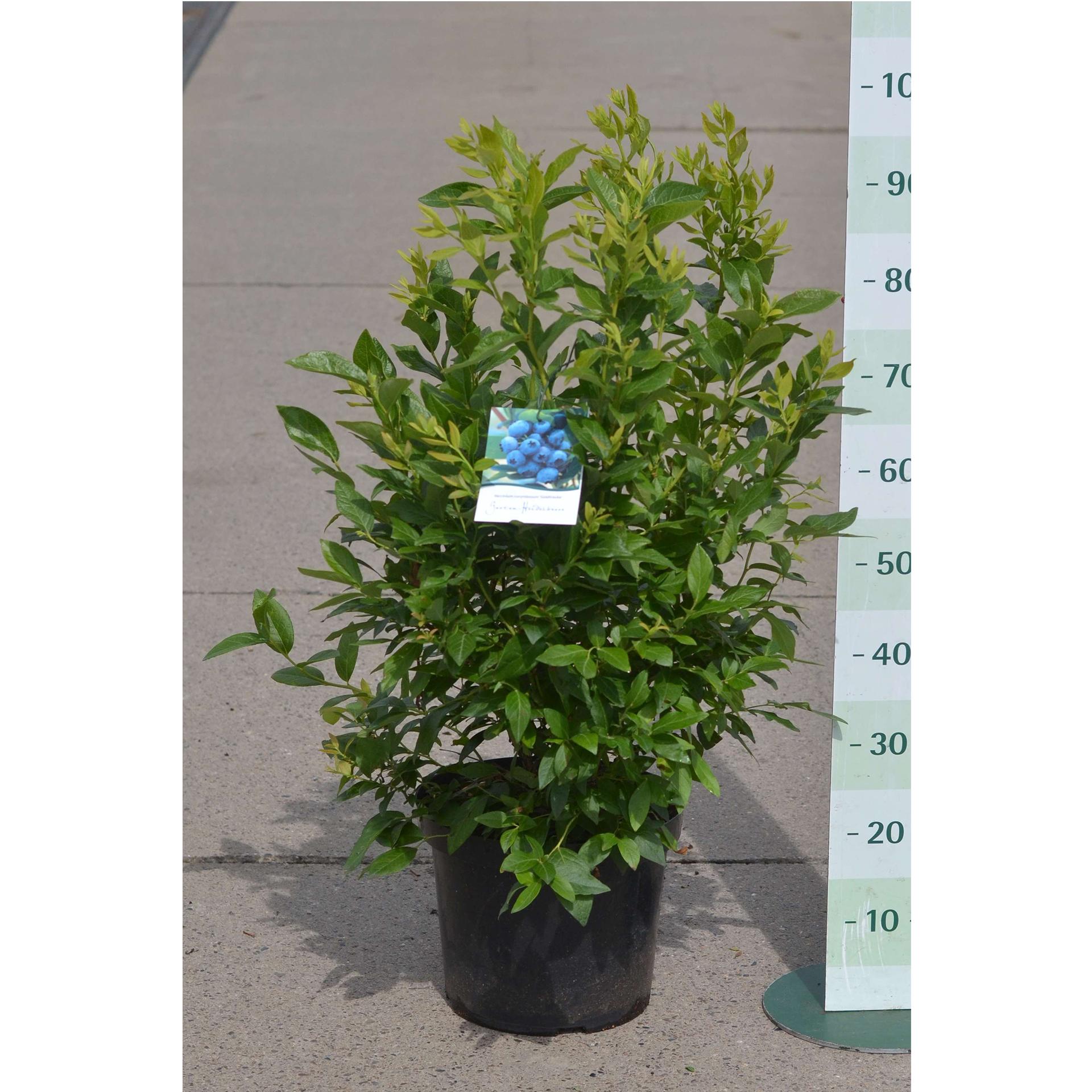 Heidelbeere - Vaccinium corymbosum 'Goldtraube', C10 80-100cm