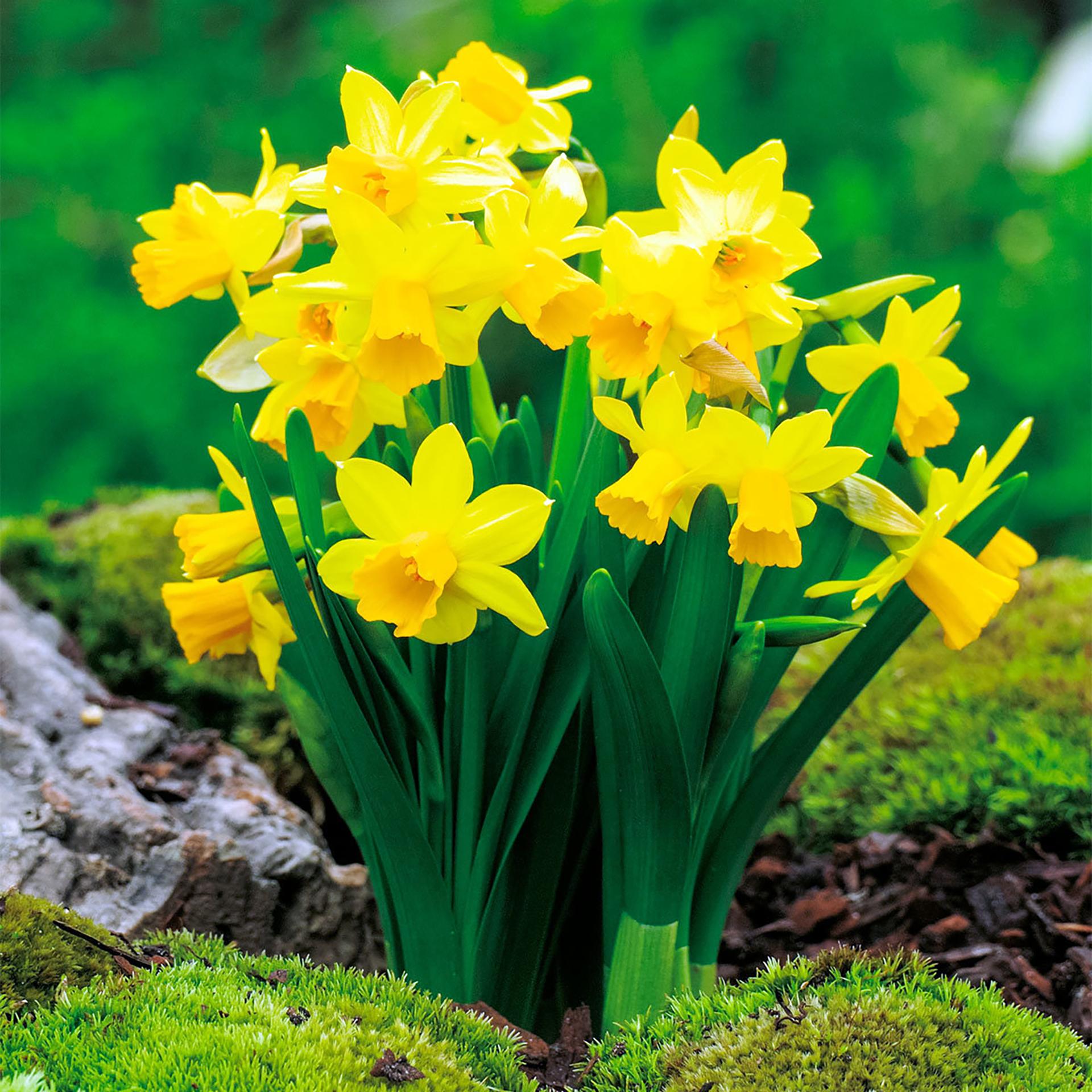 Narzisse Tête à Tête - Narcissus pseudonarcissus, gelb kleinblumig,  9cm Topf