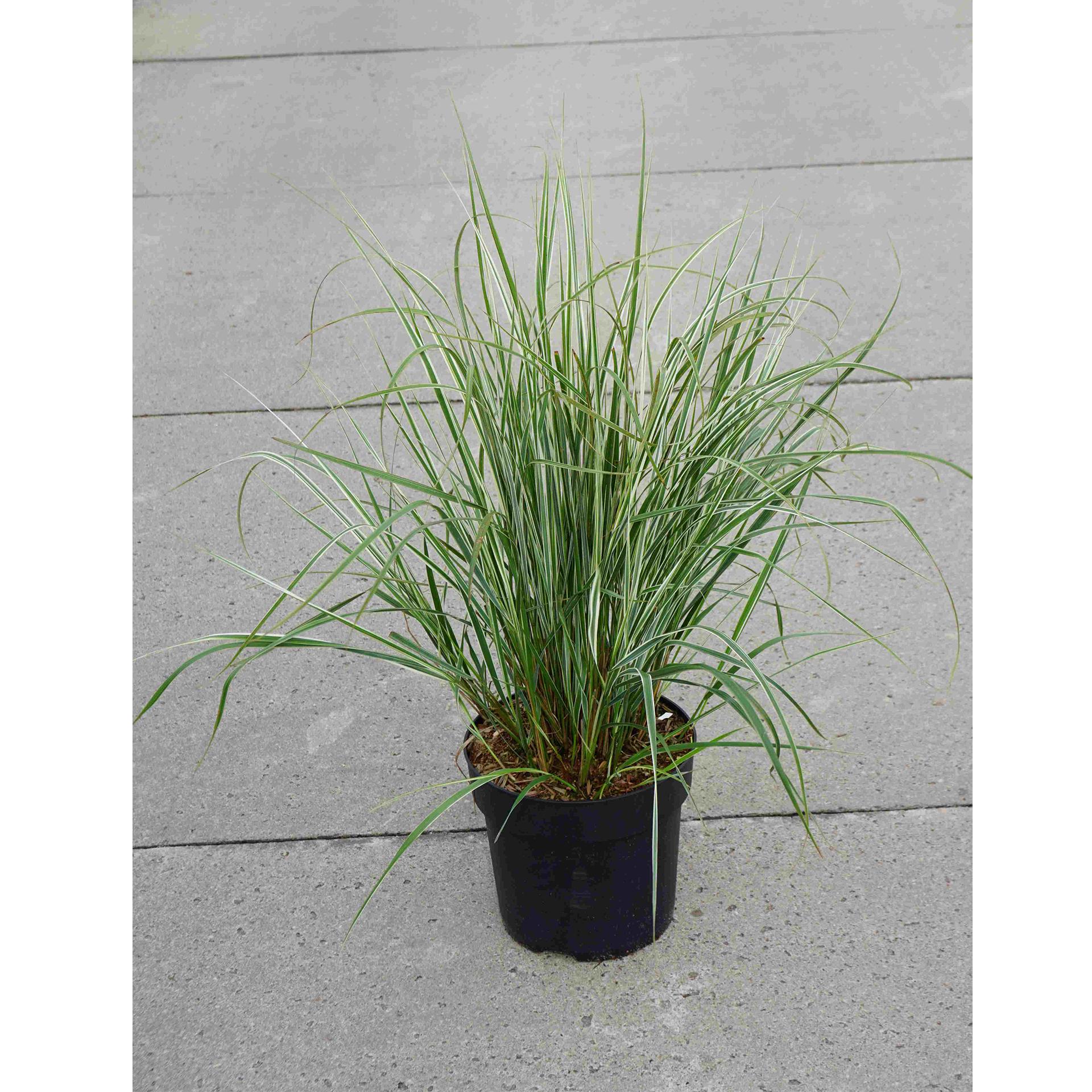 Gestreiftes Reitgras - Calamagrostis acutiflora 'Overdam', C6