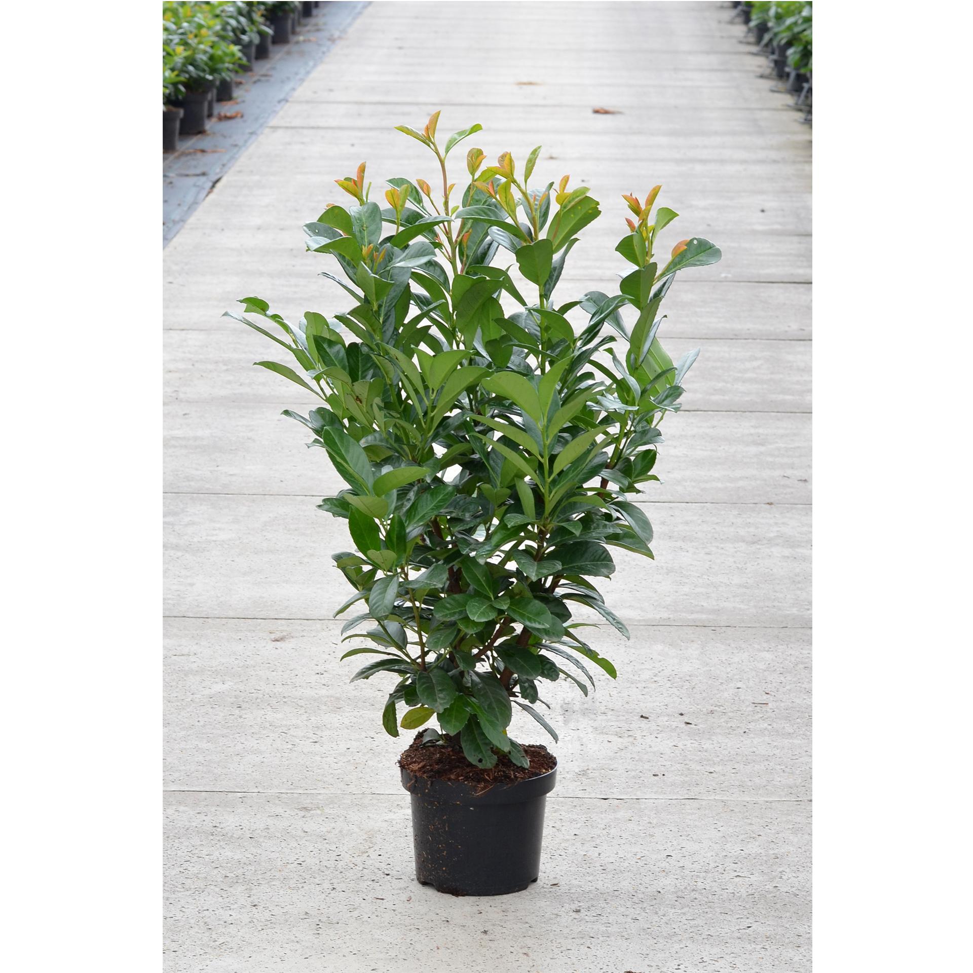 Kirschlorbeer - Prunus laurocerasus 'Etna' , C6 60-80cm