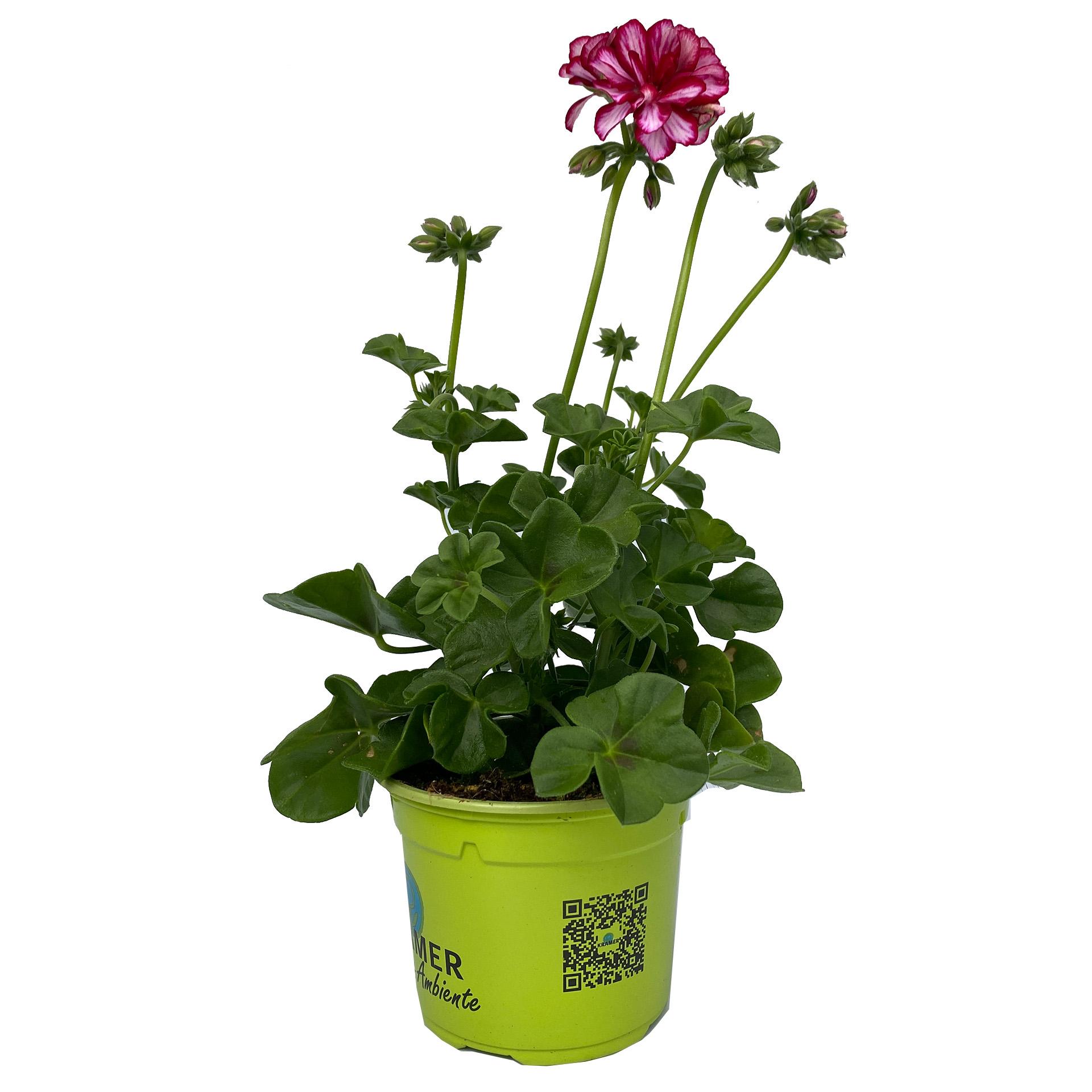 Geranie hängend - Pelargonium peltatum 'Medio Lollipop Nixe' weiß/rot, 12cm Topf