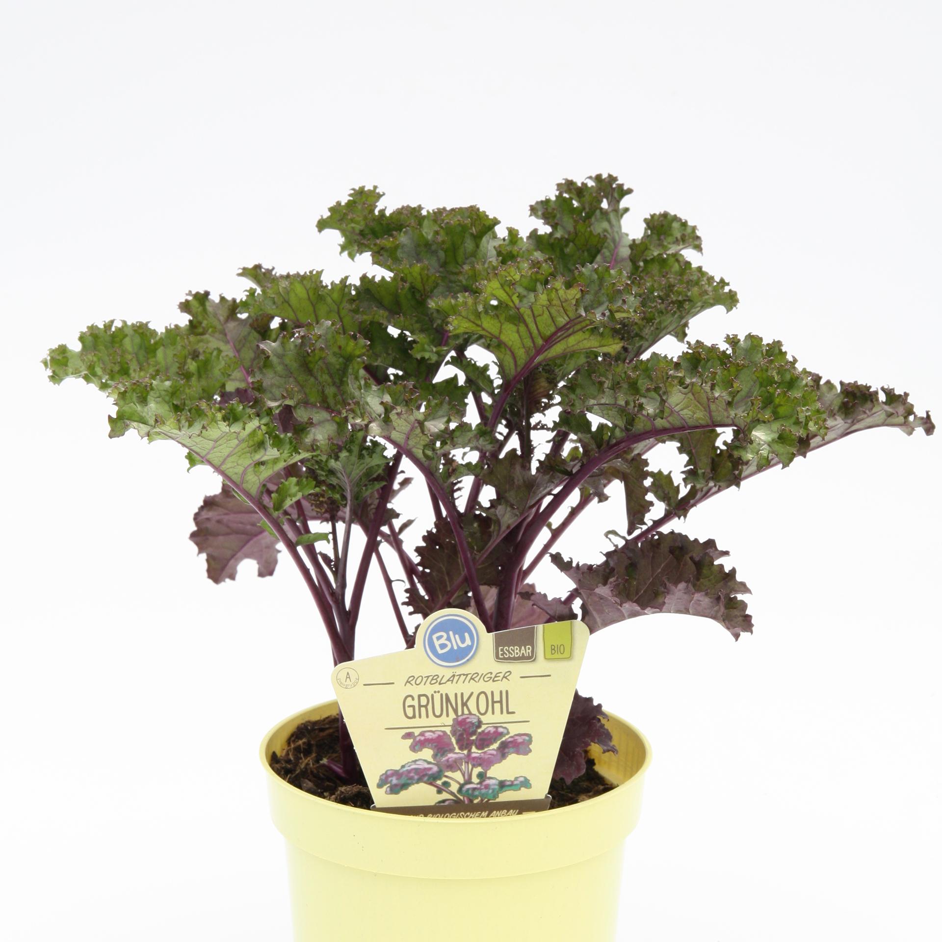 BIO Grünkohl Rotblättriger - Brassia oleracea 'Redbor', 12cm Topf