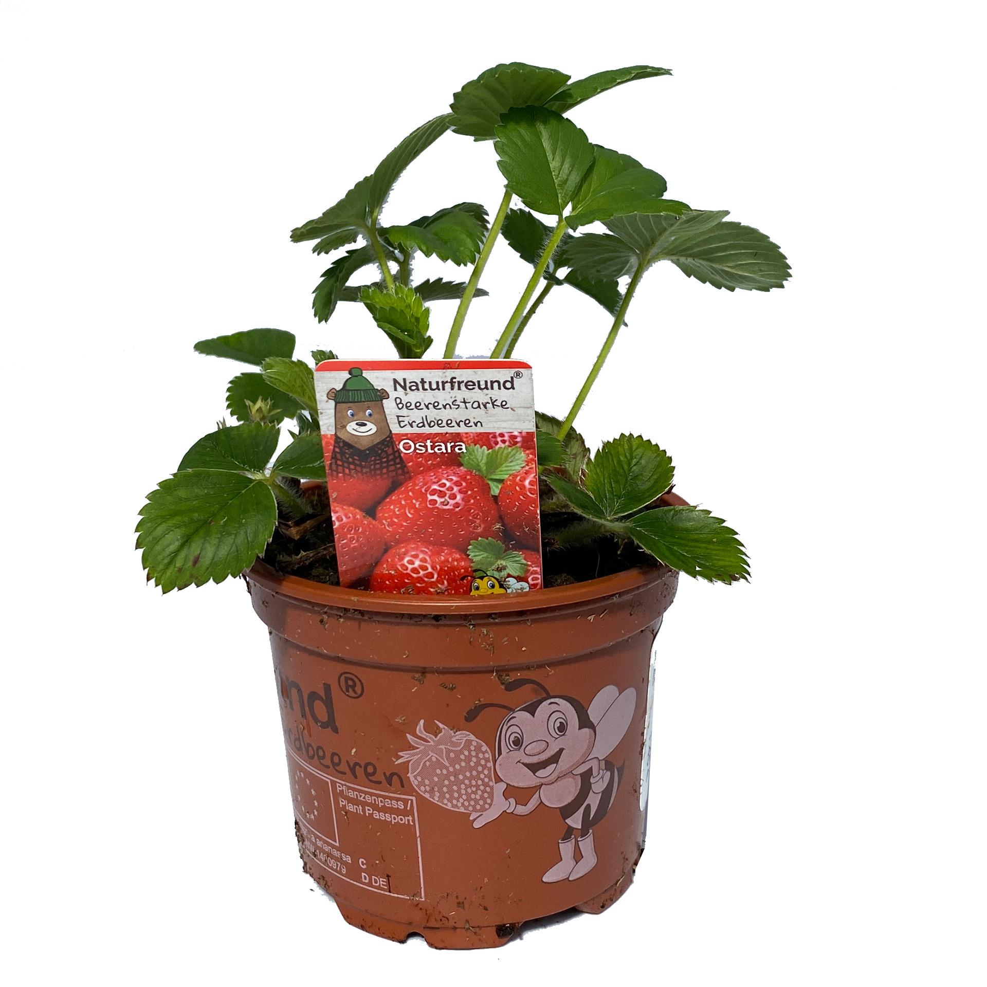 Erdbeere Ostara