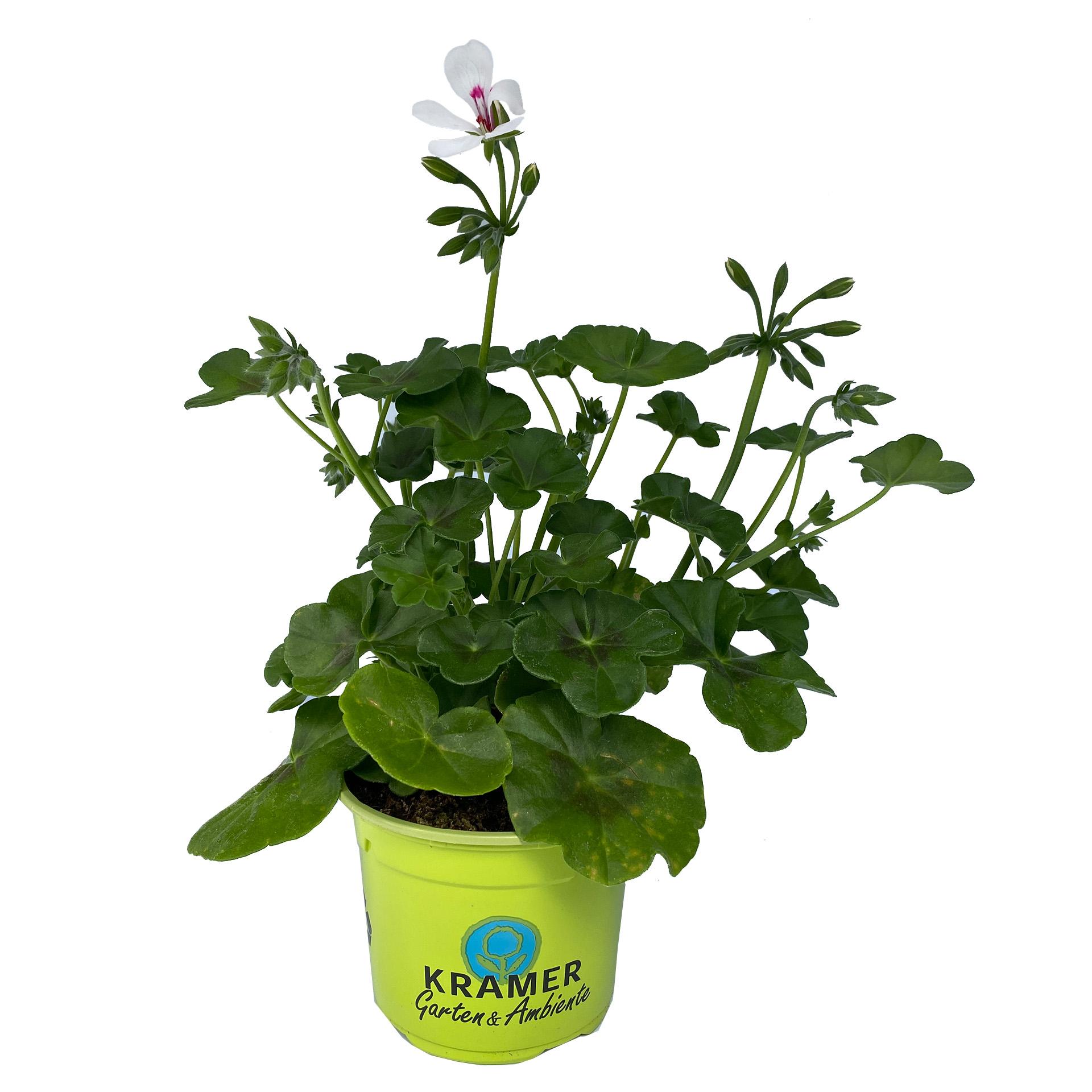 Geranie hängend - Pelargonium peltatum 'Rainbow White', 12cm Topf