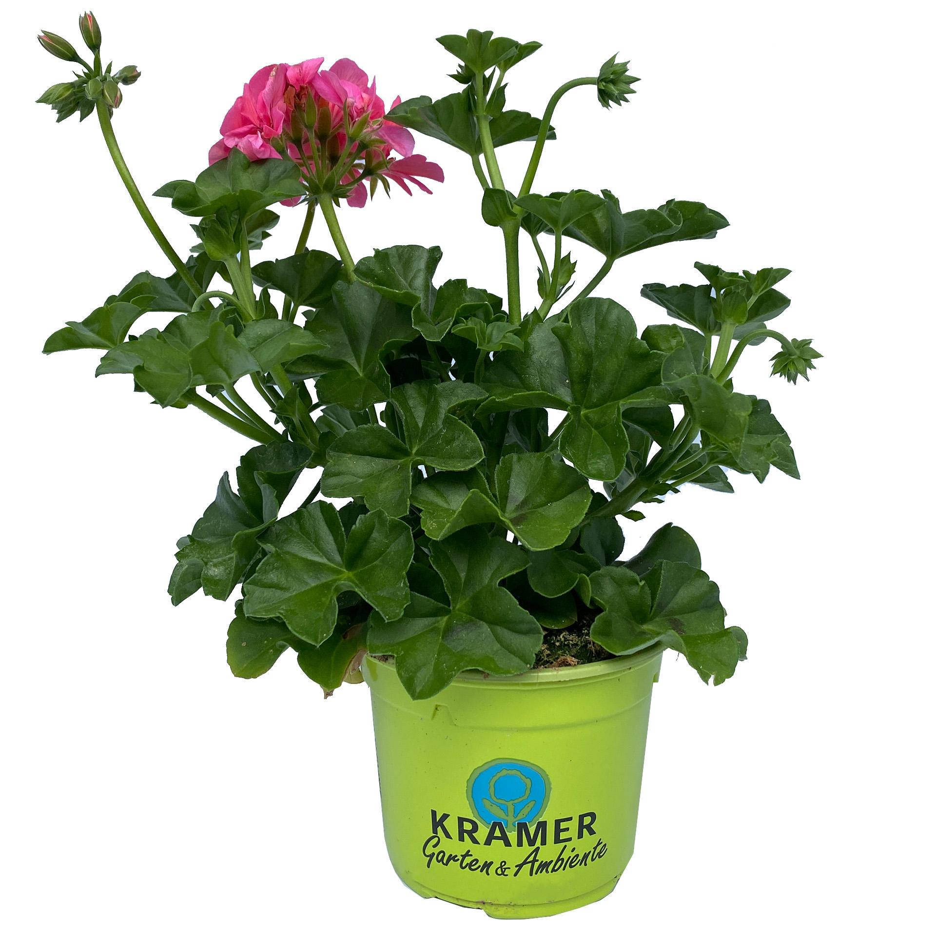 Geranie hängend - Pelargonium peltatum 'Sunflair Linda' rosa, 12cm Topf