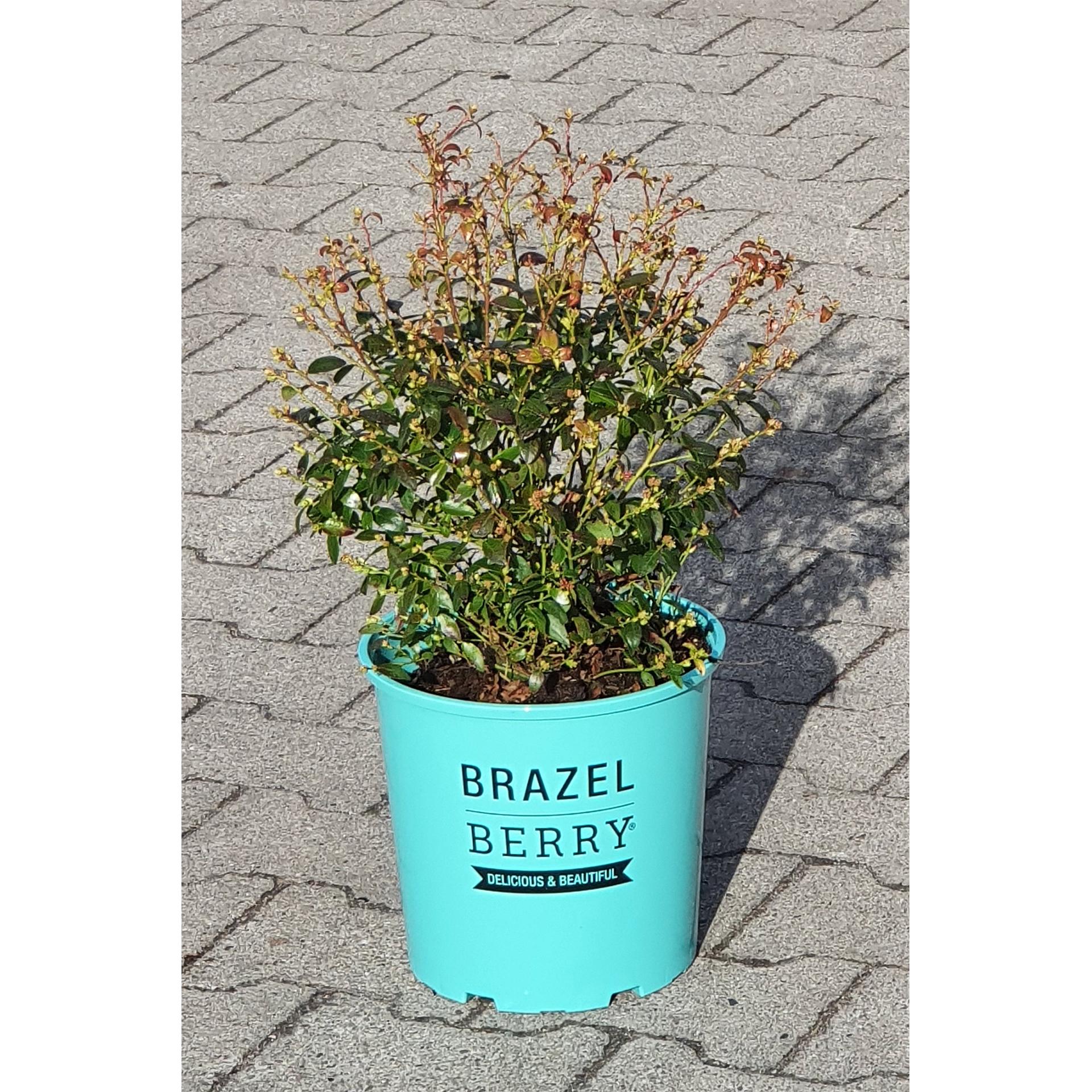 Heidelbeere - Vaccinium angustifolium BrazelBerry 'Berry Bux', C6,5 30-35cm
