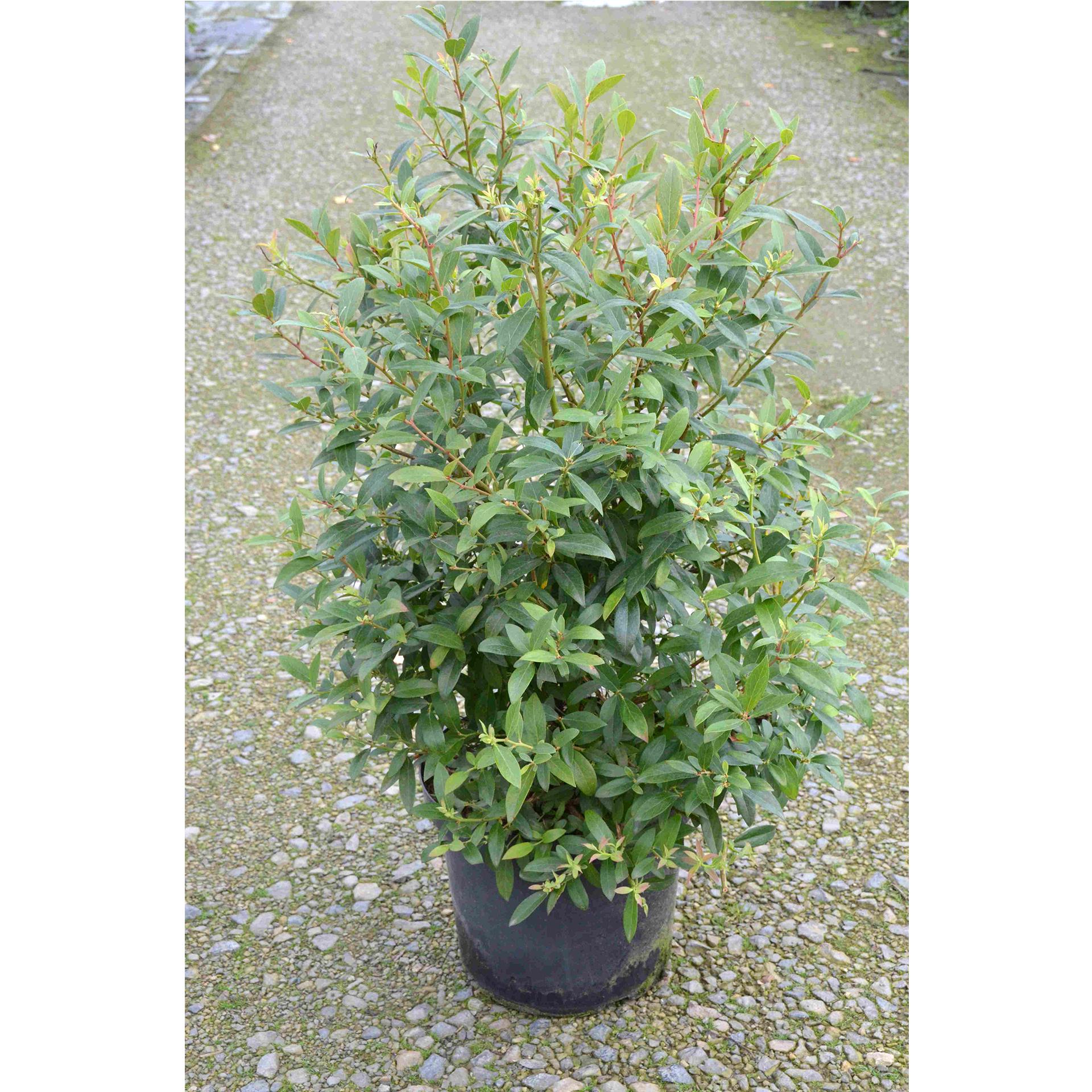 Heidelbeere - Vaccinium corymbosum 'Pink Blueberry', C10 80-100cm