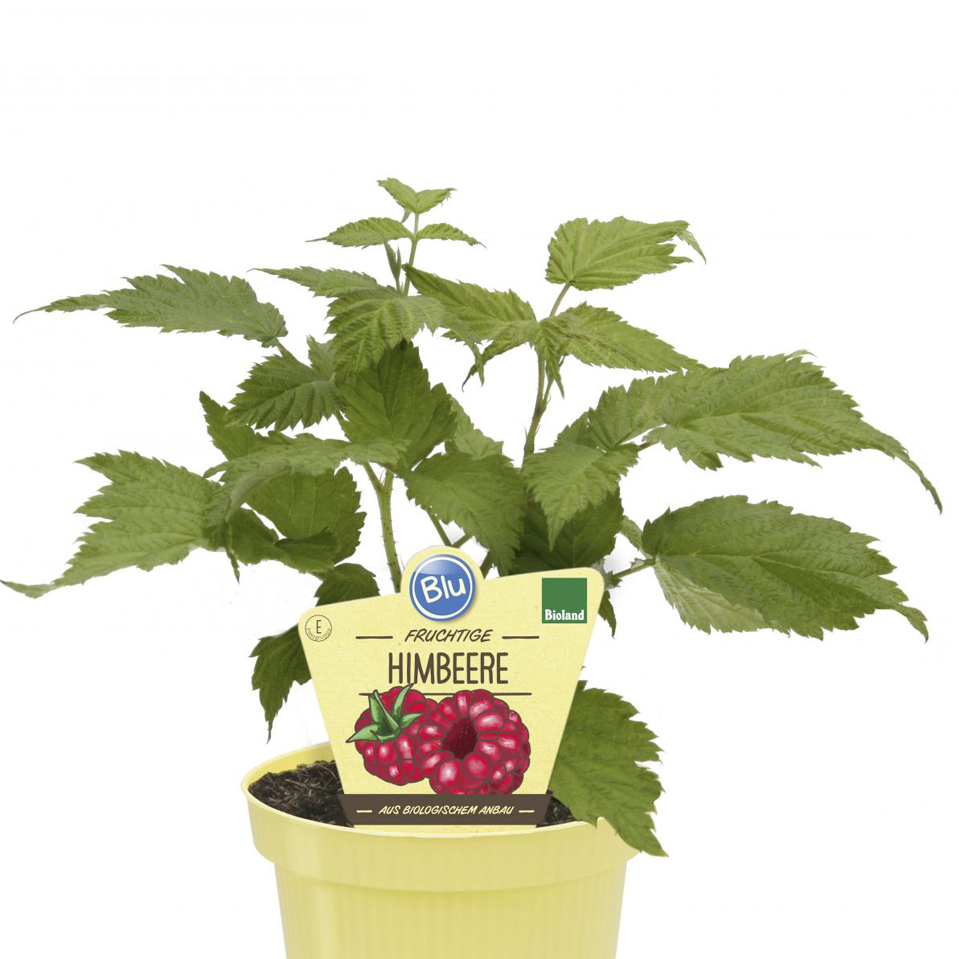 BIO Himbeere - Rubus Idaeus 'Little Sweet Sister', 12cm Topf