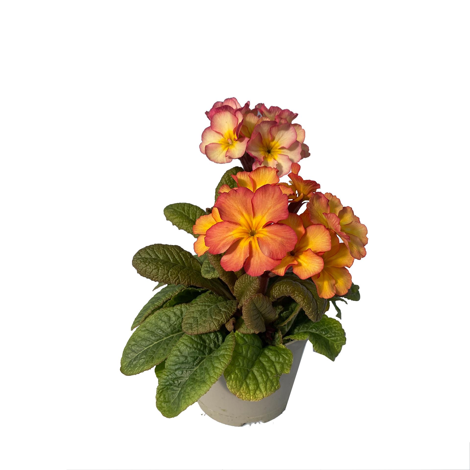 Hohe Schlüsselblume - Primula elatior, orange, 12cm Topf