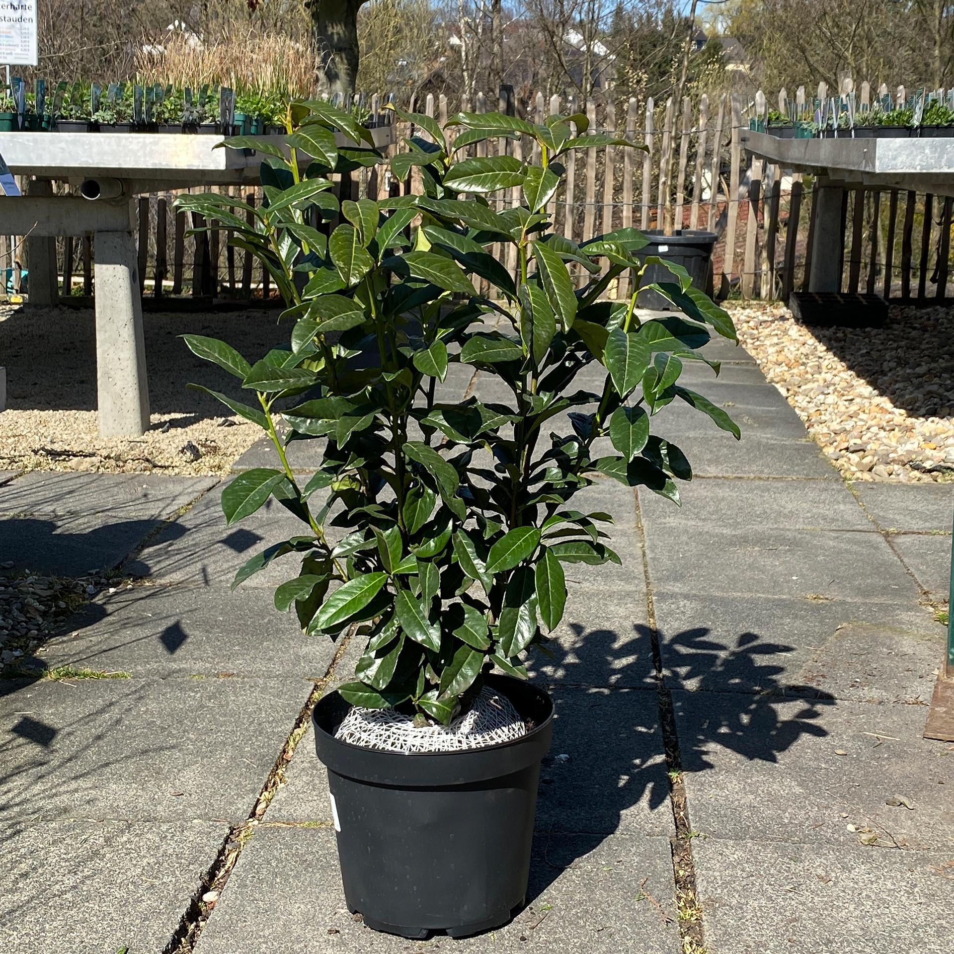 Kirschlorbeer - Prunus laurocerasus 'Genolia', 60-80cm