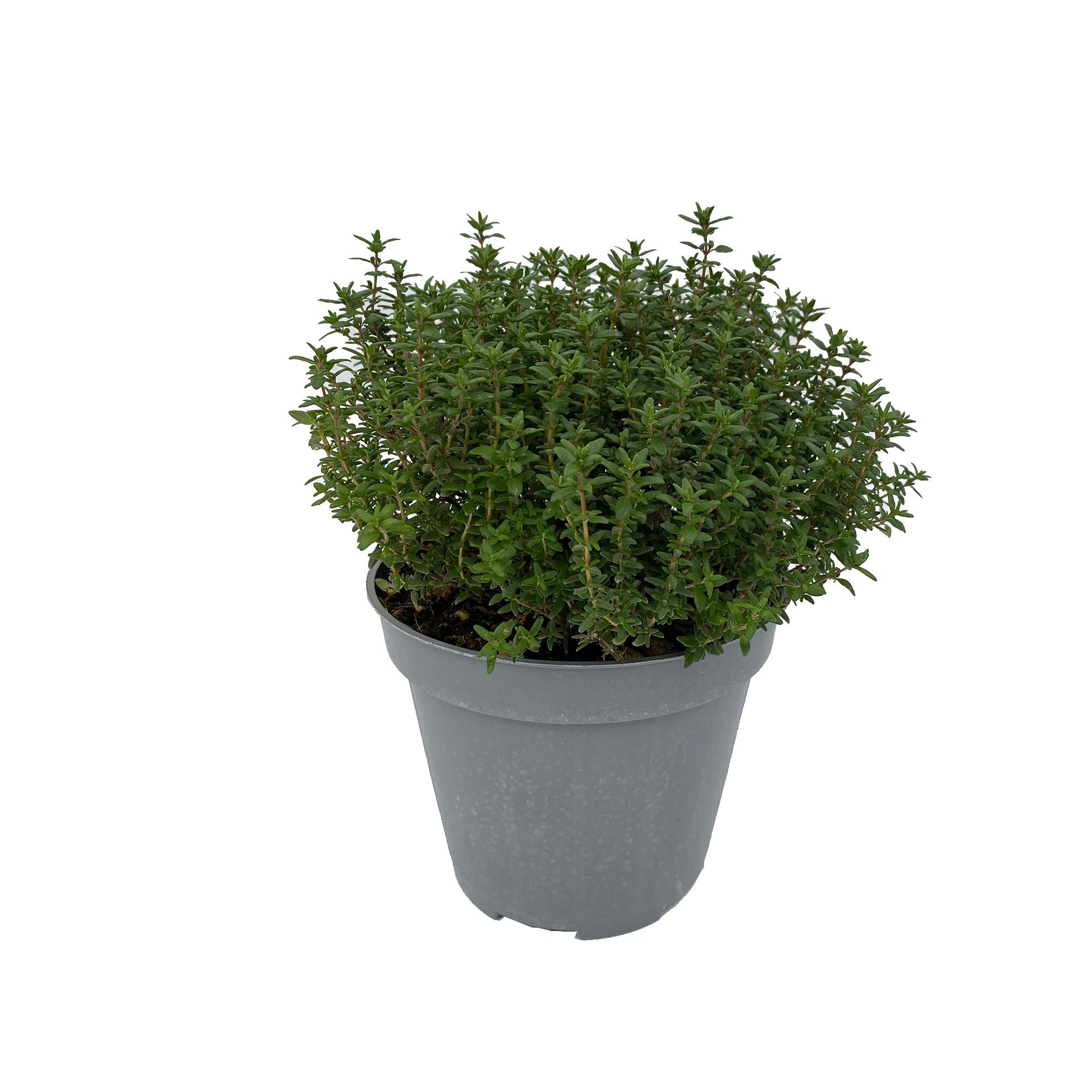 Zitronenthymian - Thymus citrodorus, 14cm Topf