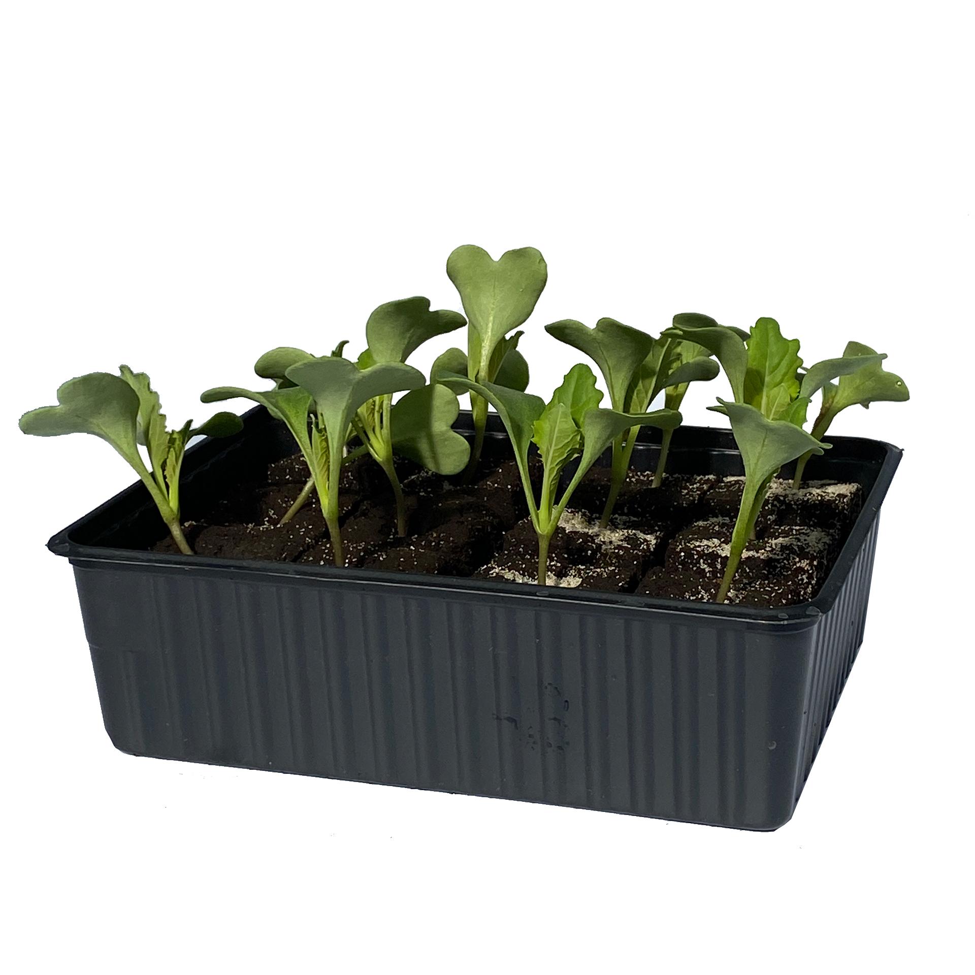 Blumenkohl  - Gemüsepflanzen Schale 12er