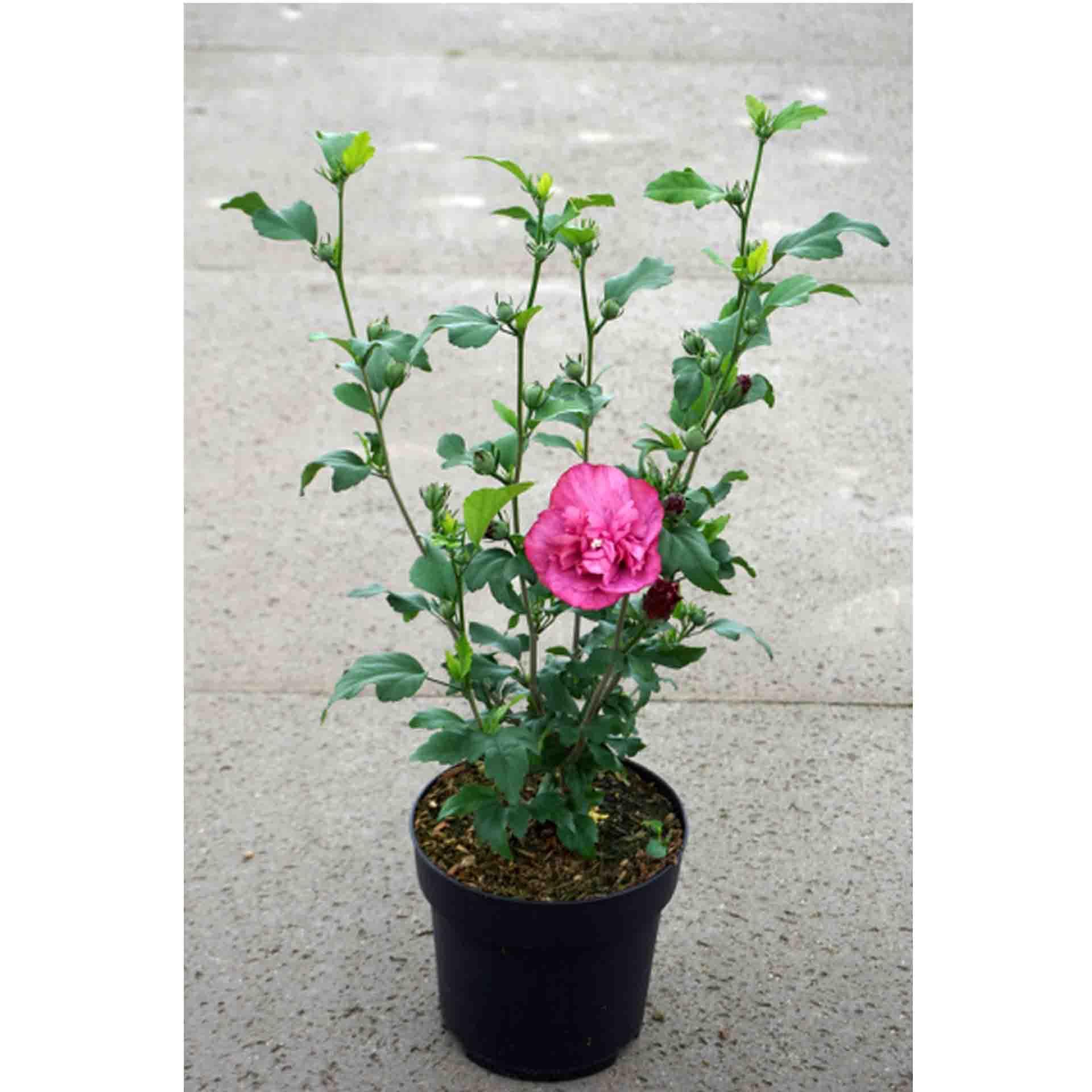Garteneibisch - Hibiscus syriacus 'Magenta Chiffon',  C4,5 50-60cm