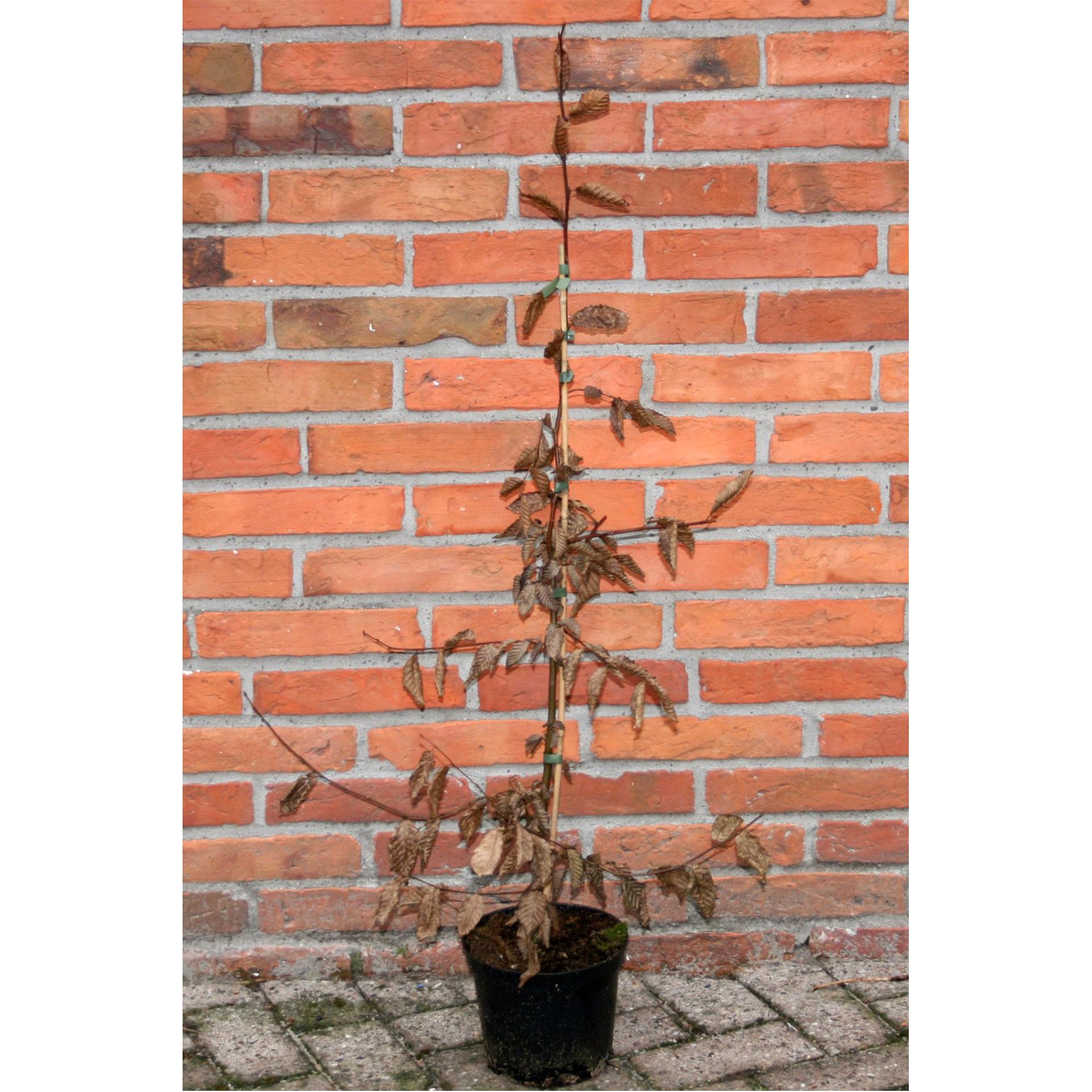 Hainbuche - Carpinus betulus, 60-100cm