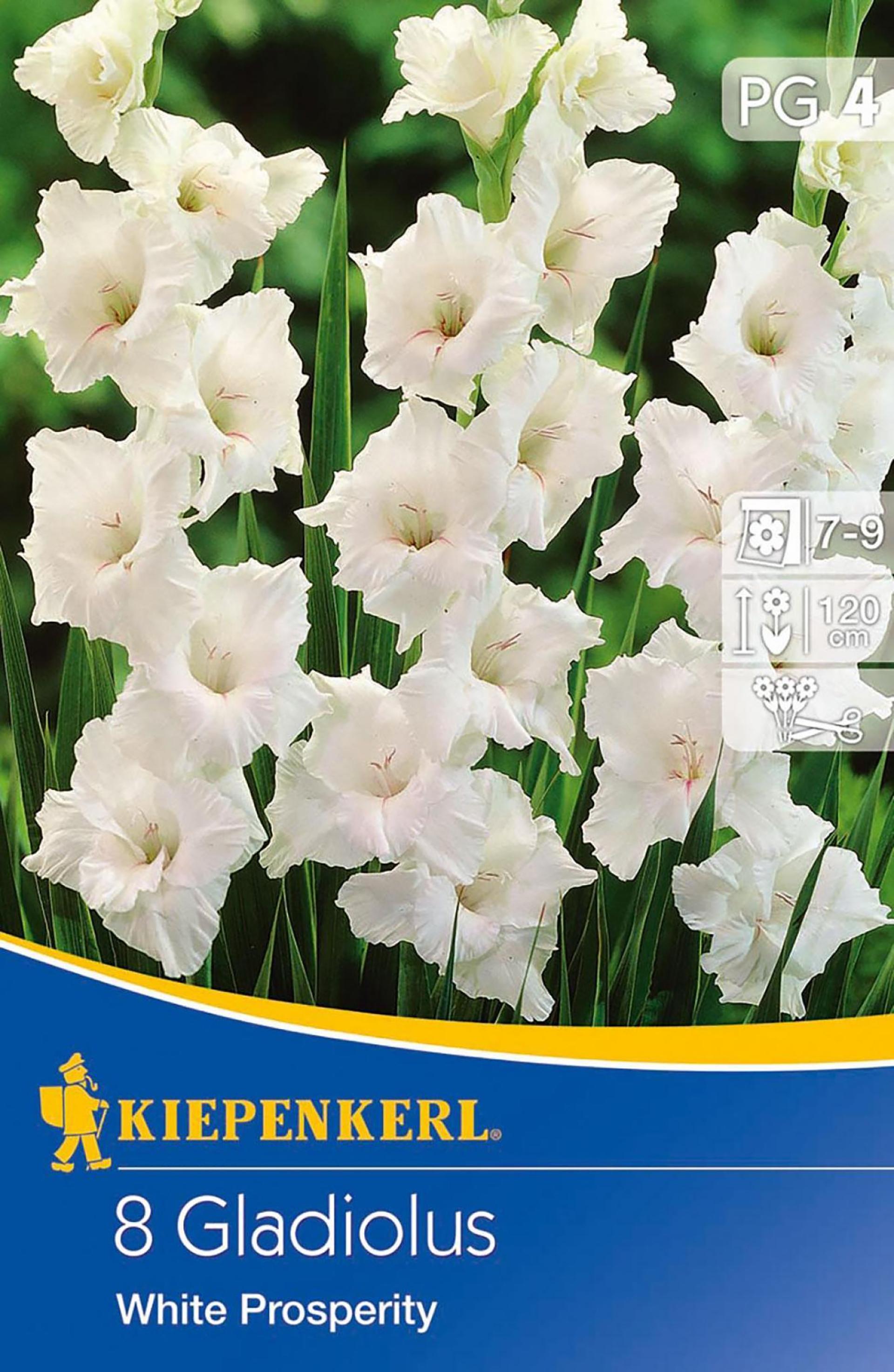 Gladiole White Prosperity  PG-4
