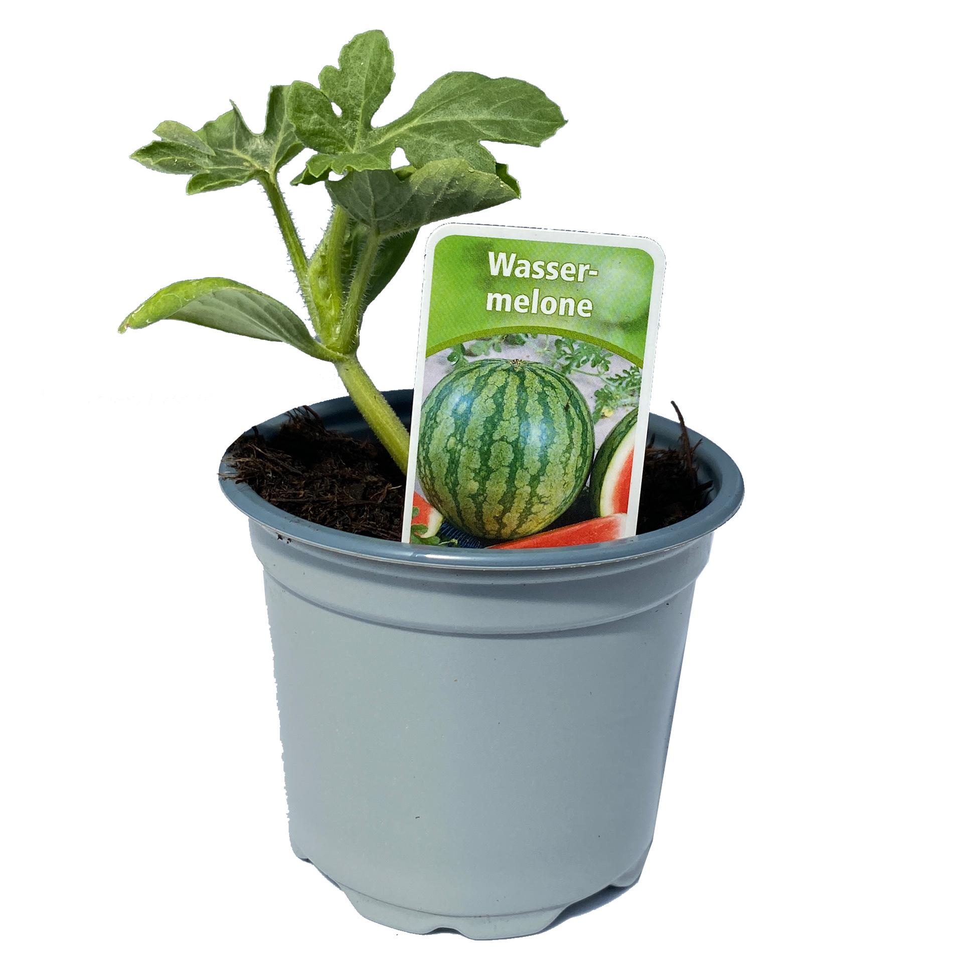Wassermelonen - Melonenpflanze, 9cm Topf