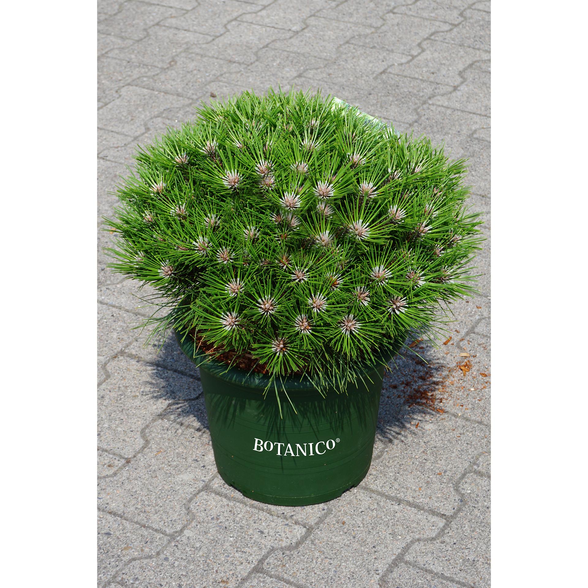 Schwarzkiefer - Pinus nigra 'Marie Bregeon', C10 40-50cm