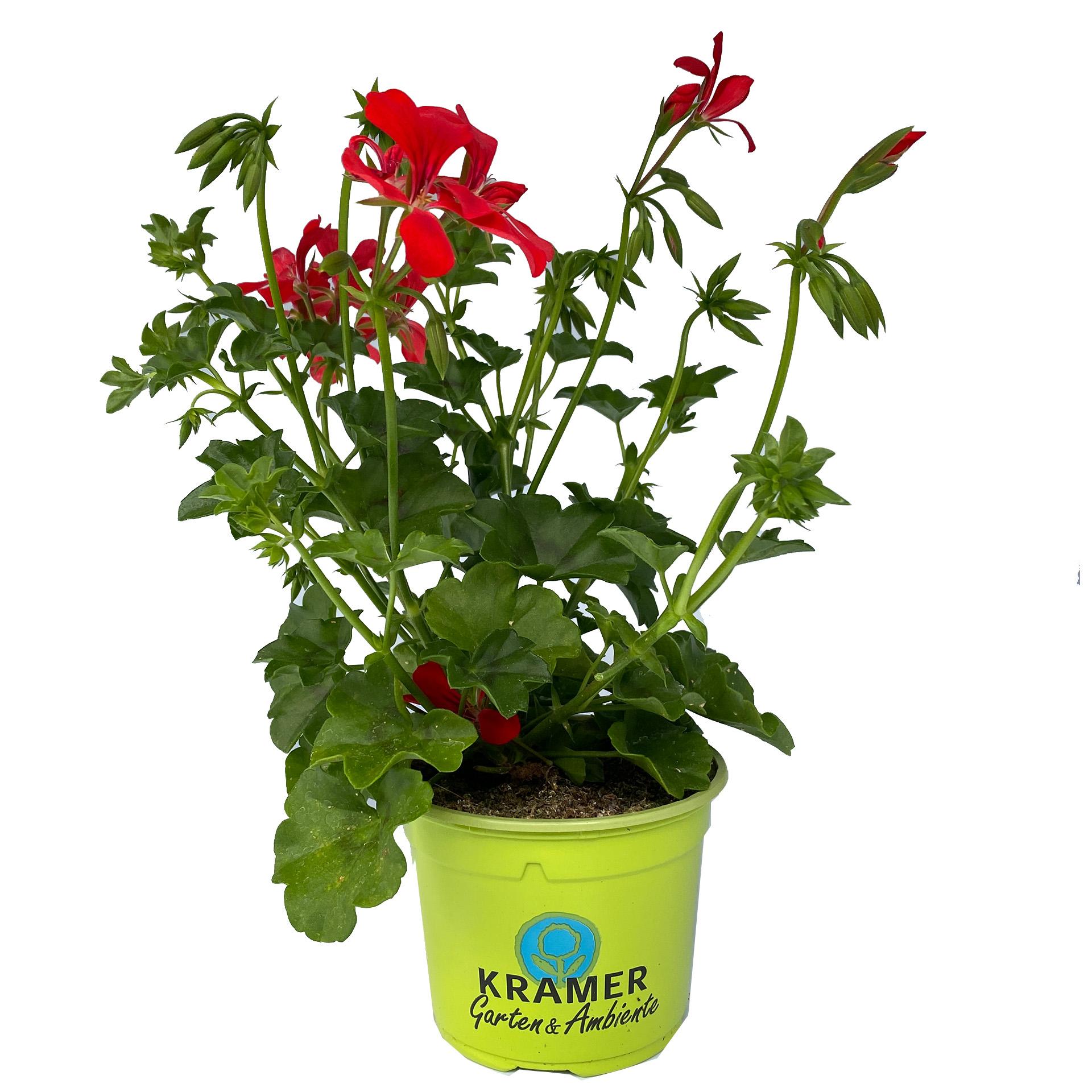 Geranie hängend - Pelargonium peltatum 'Rainbow Red', 12cm Topf