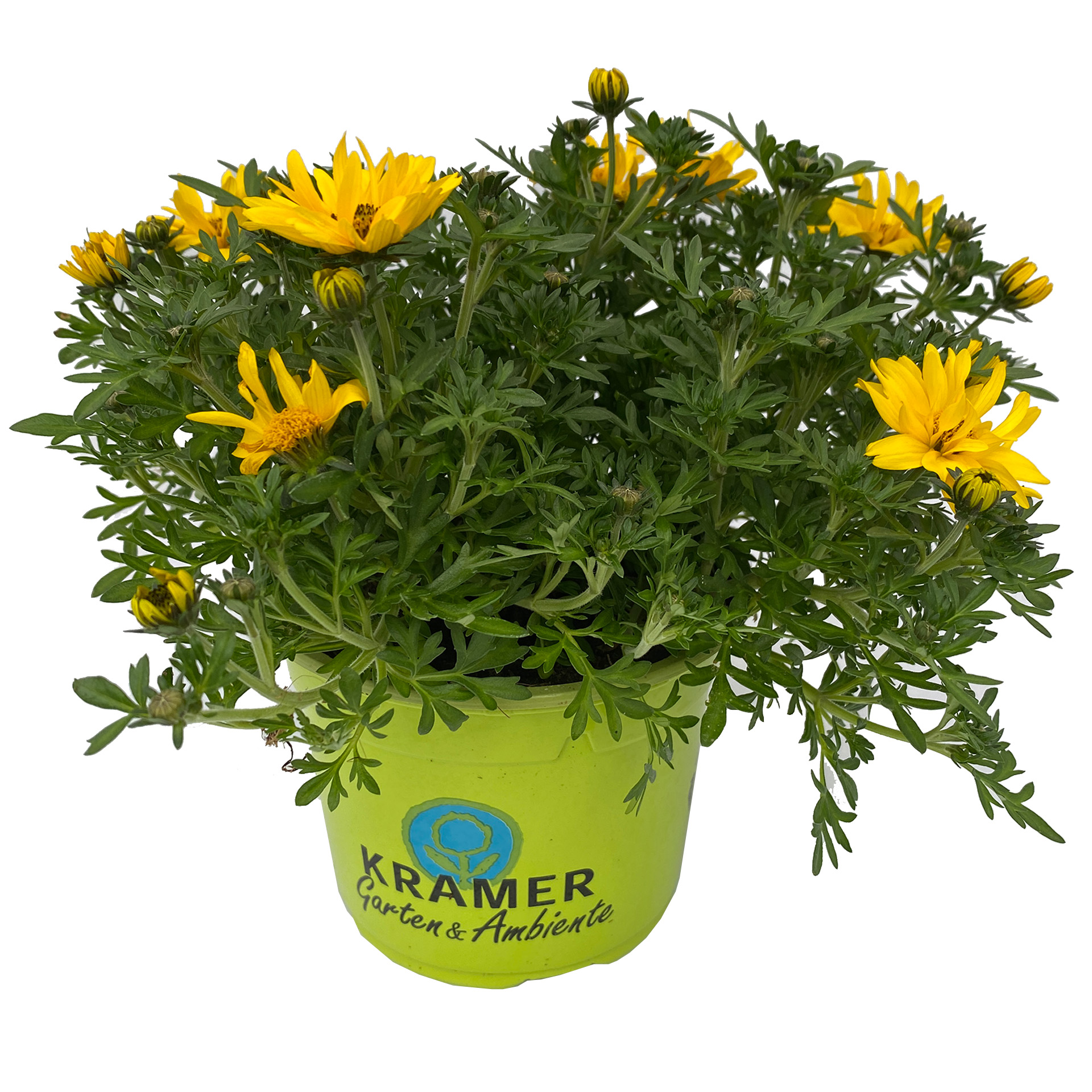 Goldmarie - Bidens ferulifolia 'Tweety' gelb gefüllt, 12 cm Topf