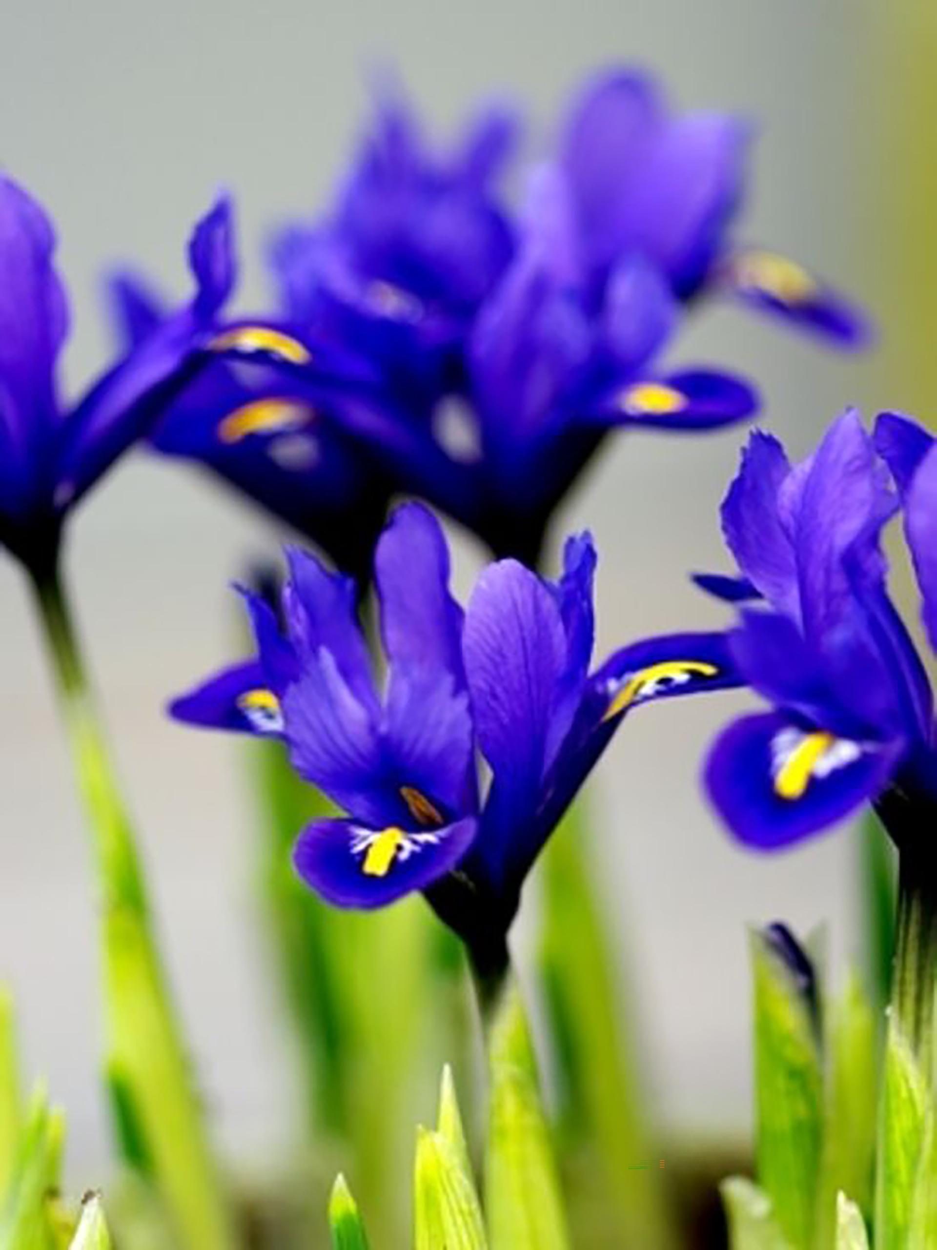 Iris Harmony im 9cm Topf, blau