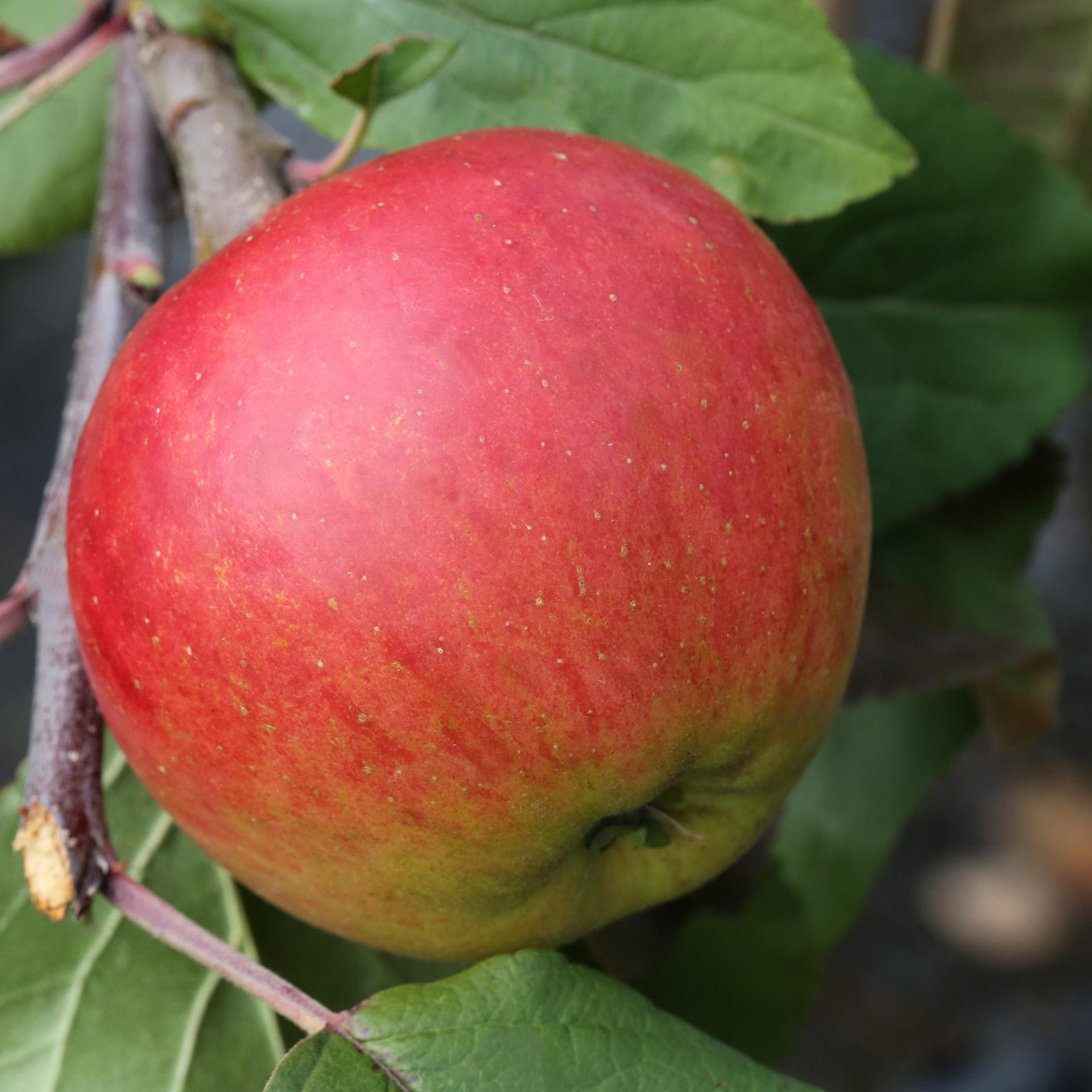 Apfel 'Gerlinde' - Malus domestica 'Gerlinde', C10